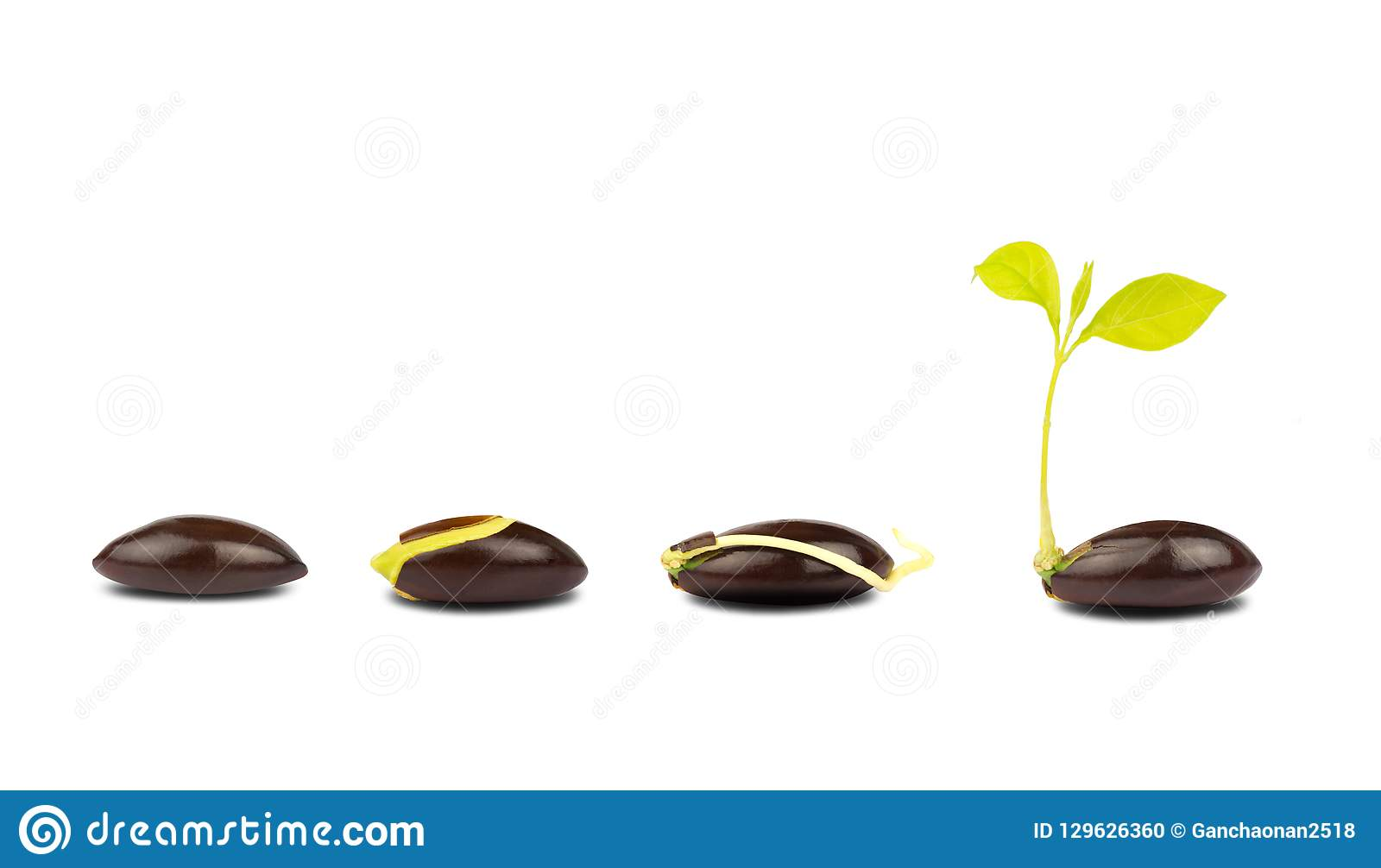 Seed germination process isolate on white background.
