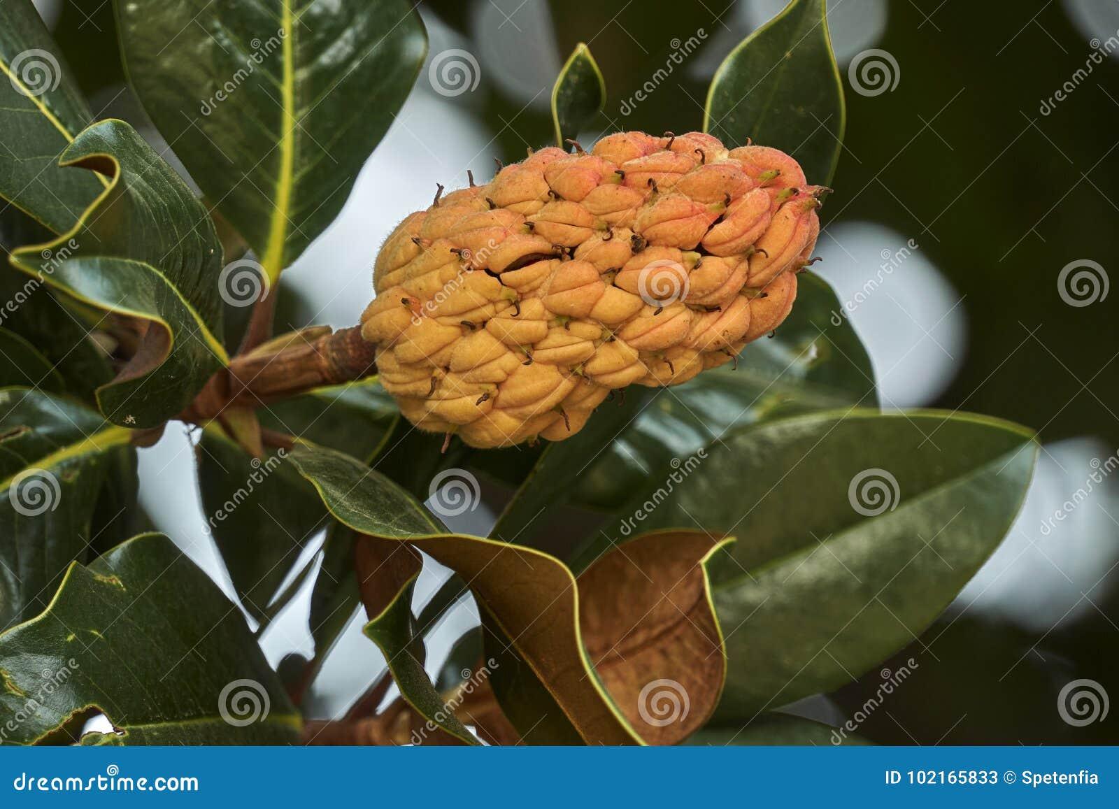 Seed Of Magnolia Flower Stock Image Image Of Seasonal 102165833