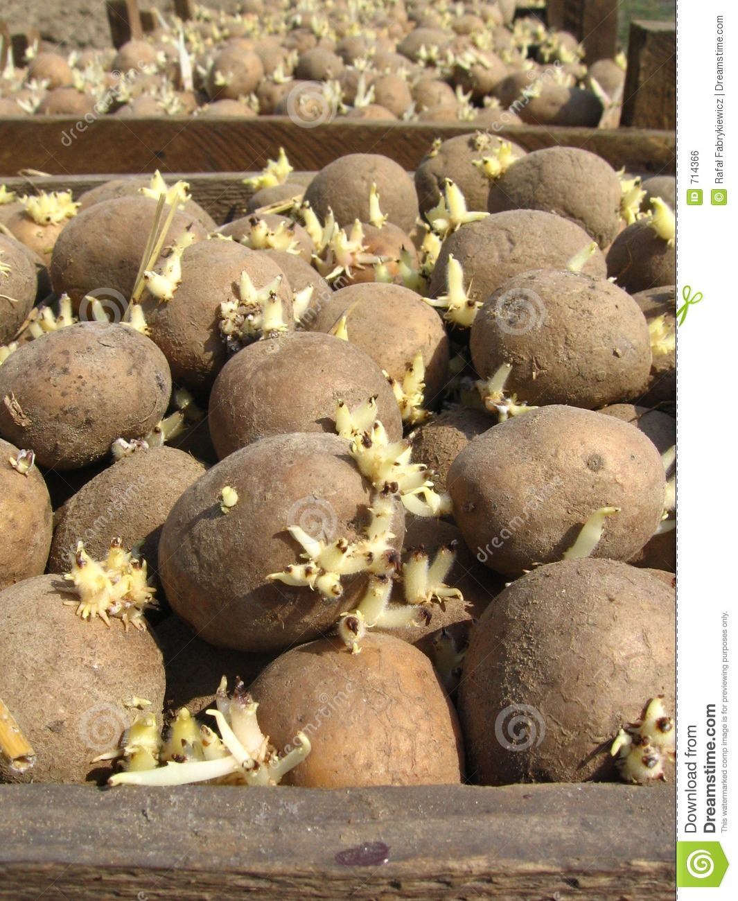 how to cut seed potatoes