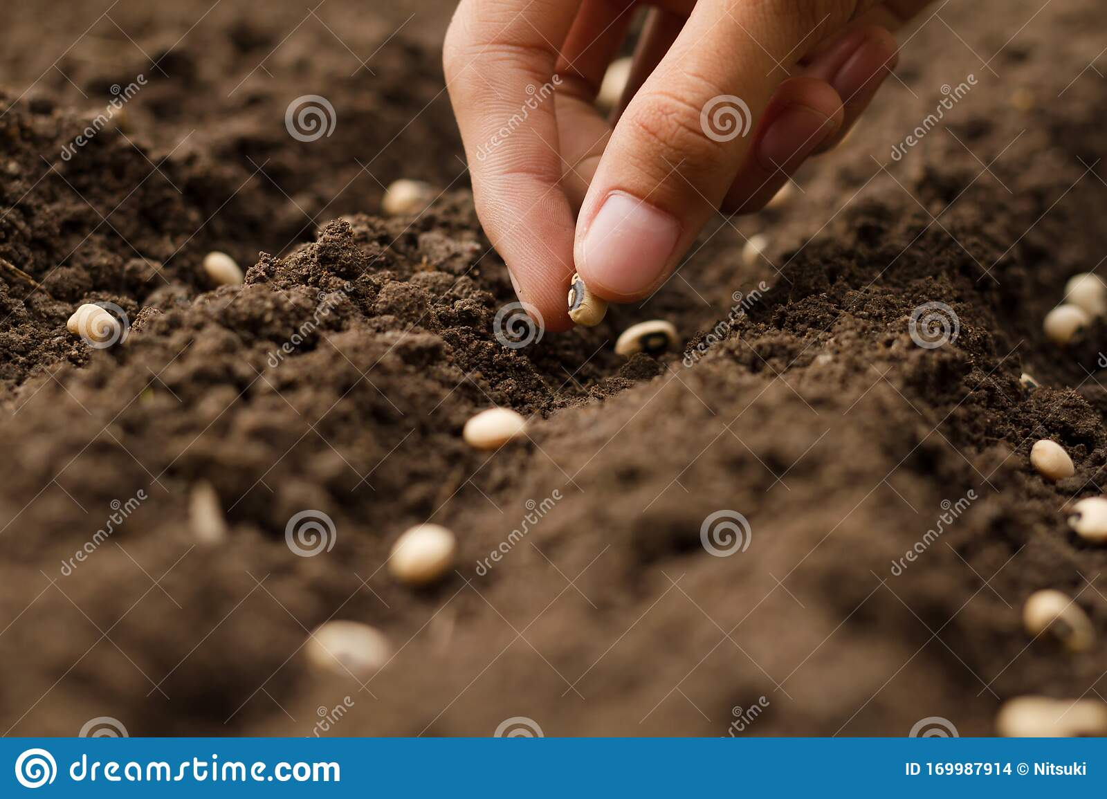 Seed Sowing On Soil Gardening Concept Stock Photo Image Of