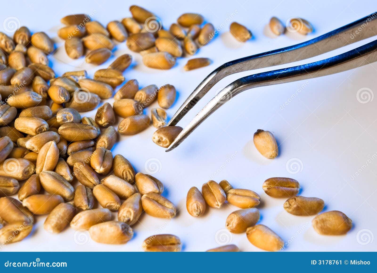 Seed on tweezers