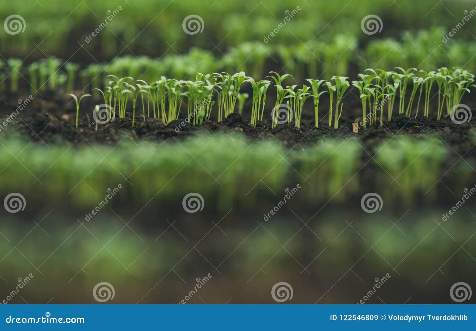 Seeding in greenhouse. seeding plants greenhouse. seeding in greenhouse concept. plant seeding in greenhouse. new life.