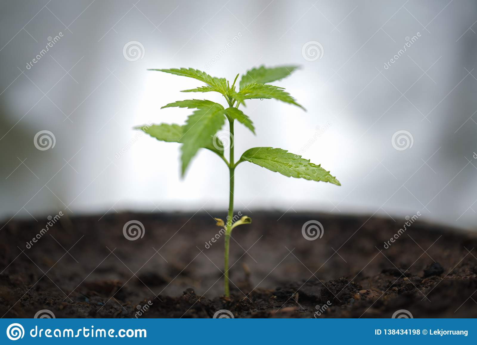 Seedling of cannabis, Growth of marijuana trees , Cannabis leaves of a plant on a dark background, medicinal agricultur