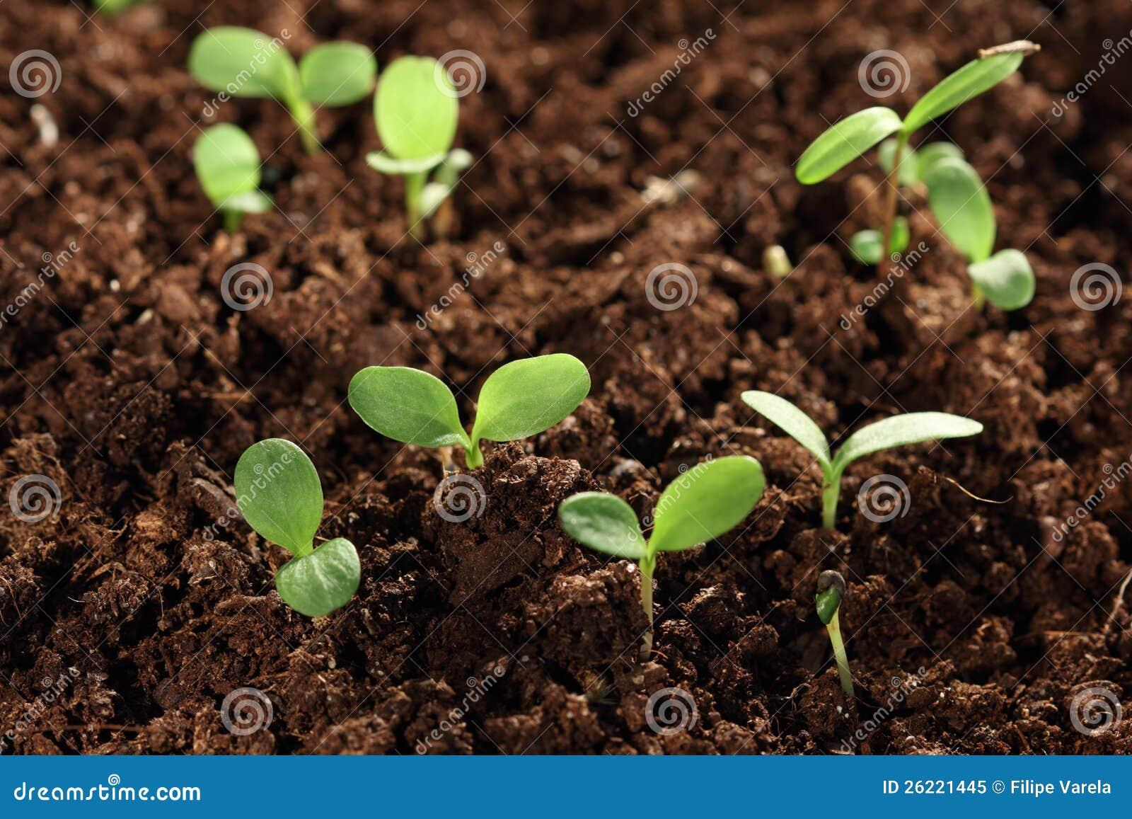 Seedling plants in soil