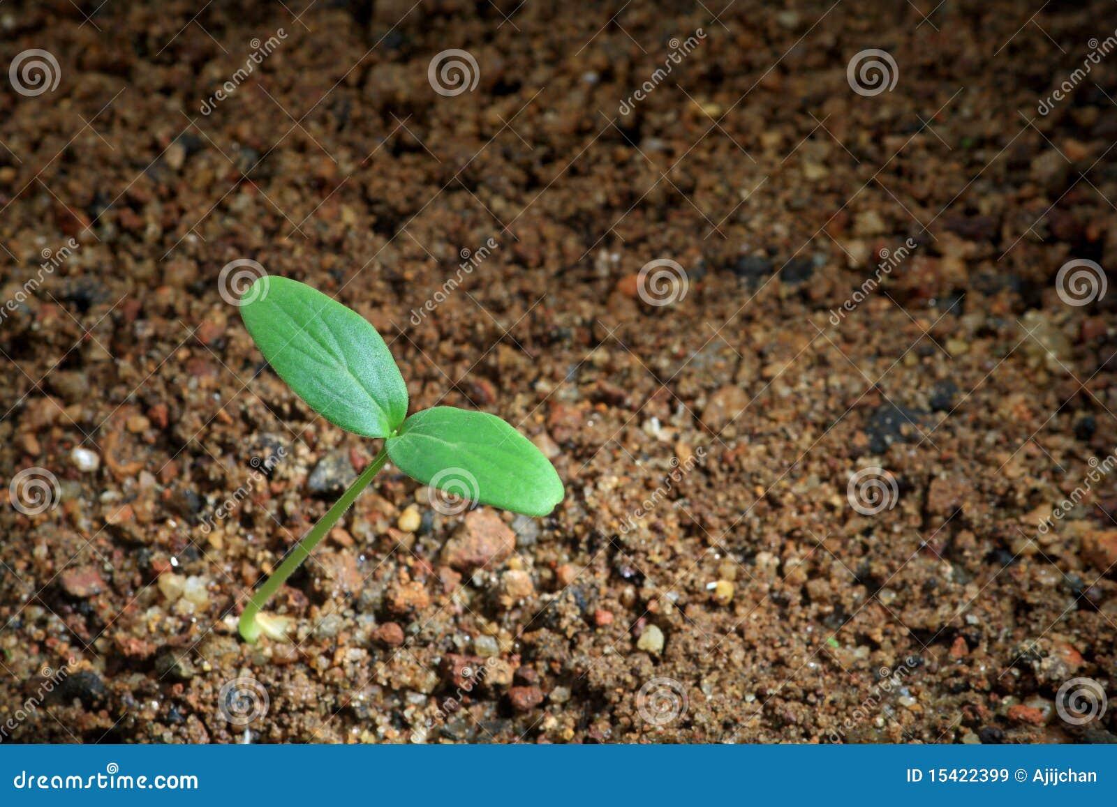 A seedling on soil