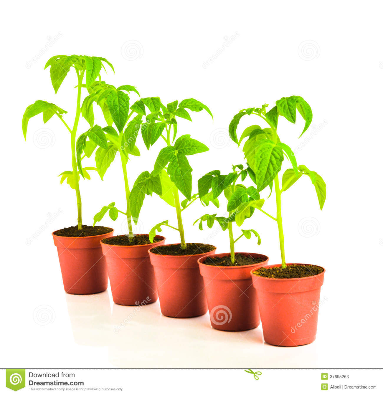 seedling of tomato plant in flowerpot is isolated on white. Black Bedroom Furniture Sets. Home Design Ideas