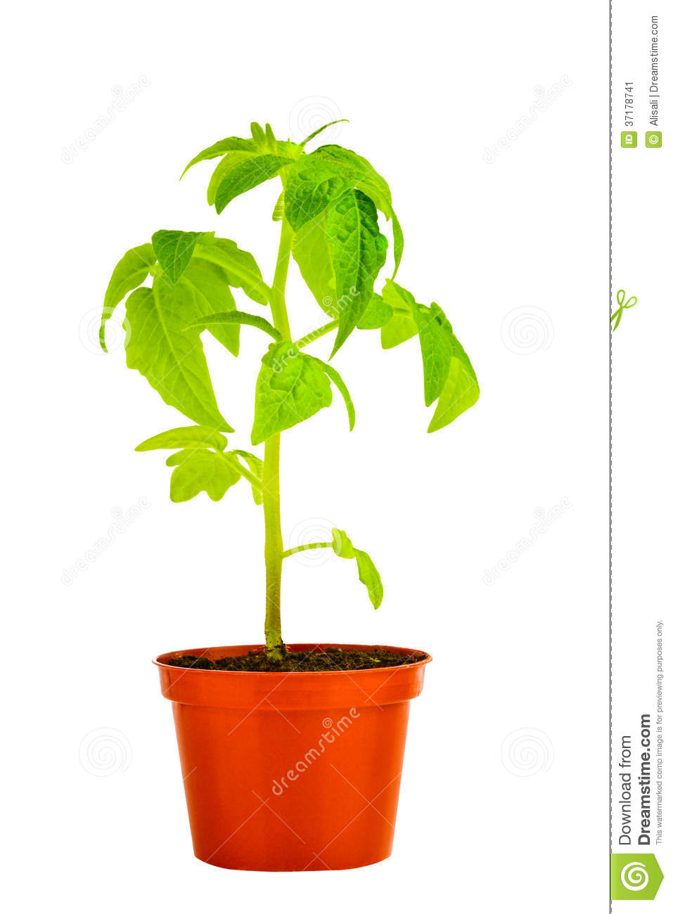 seedling of young tomato plant in flowerpot is isolated on. Black Bedroom Furniture Sets. Home Design Ideas