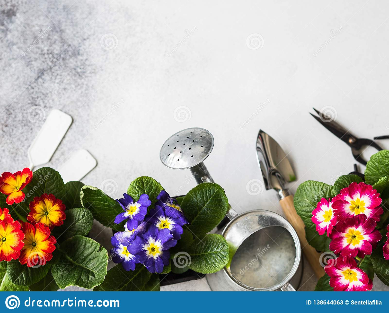 Seedlings of flowers multicolored primroses and various garden tools on a gray background. Garden concept. Top view. Copy space