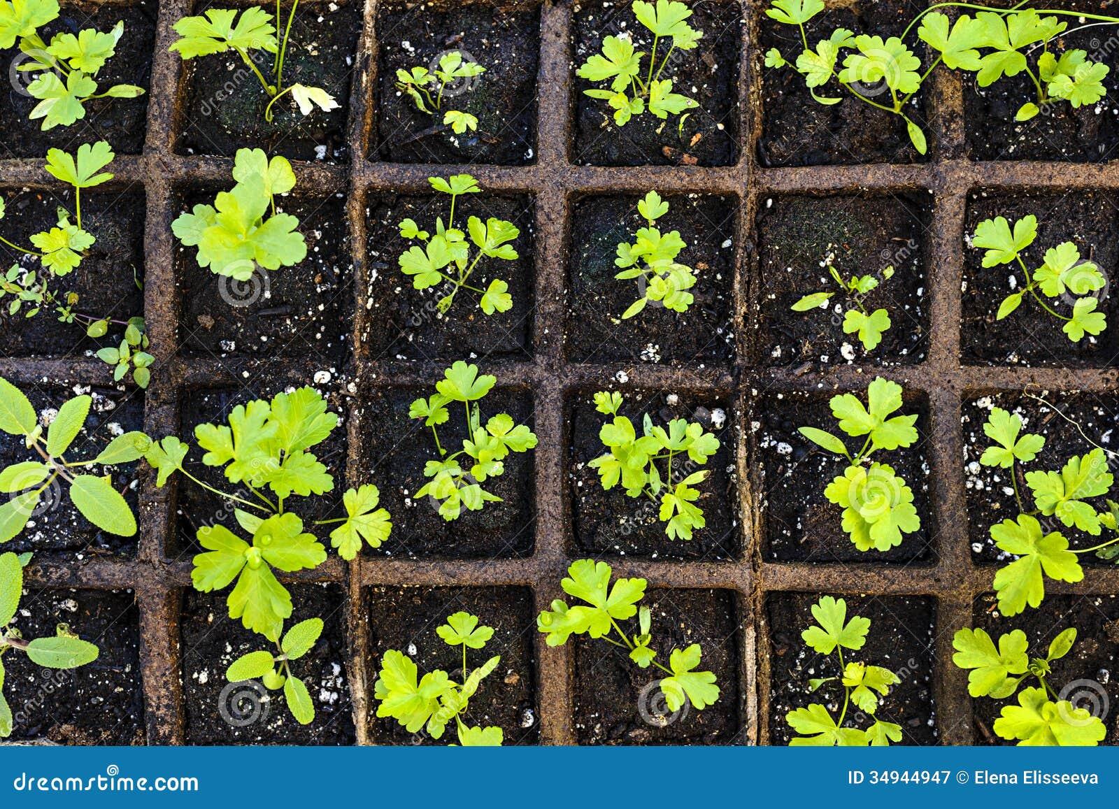seedlings growing in starter tray stock image image of nurturing