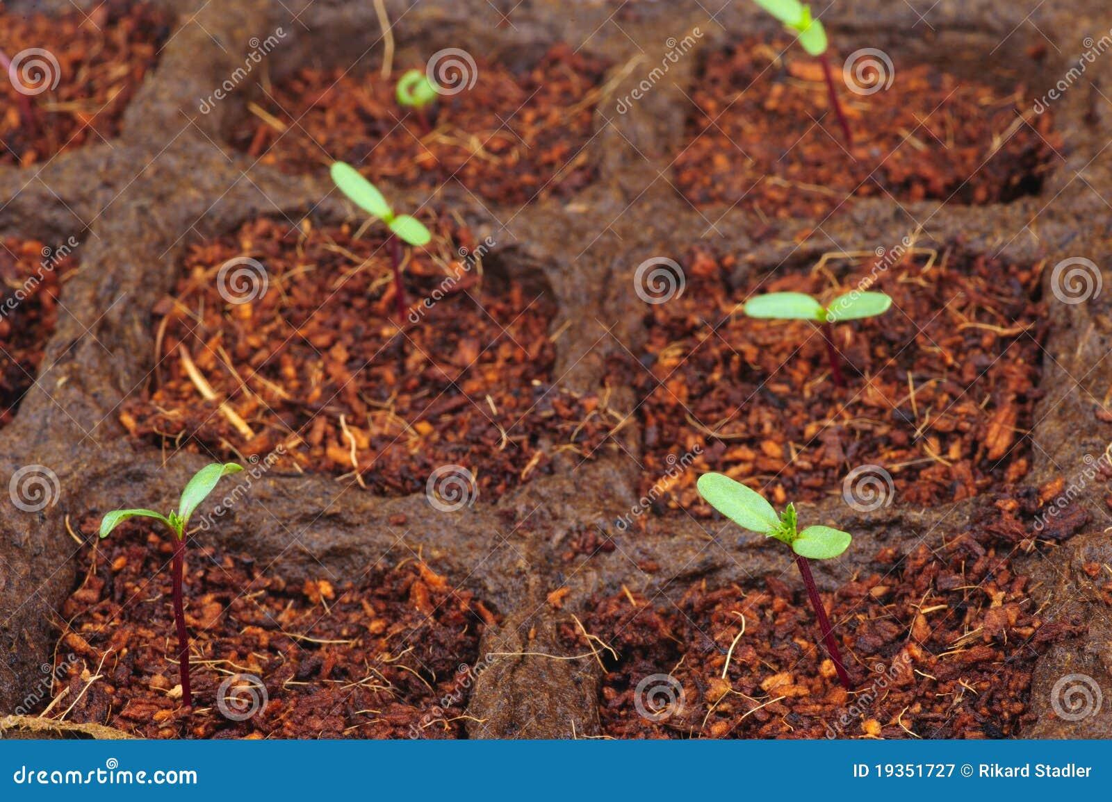 Seedlings novos.