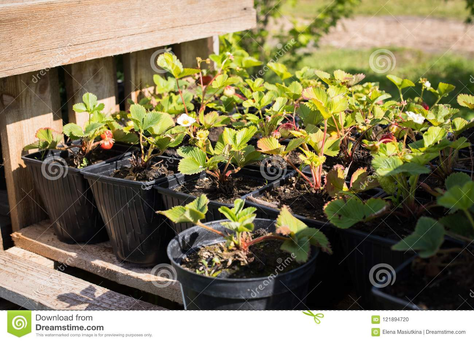 Seedlings Of Strawberries In Pots Growing In Garden Nursery.