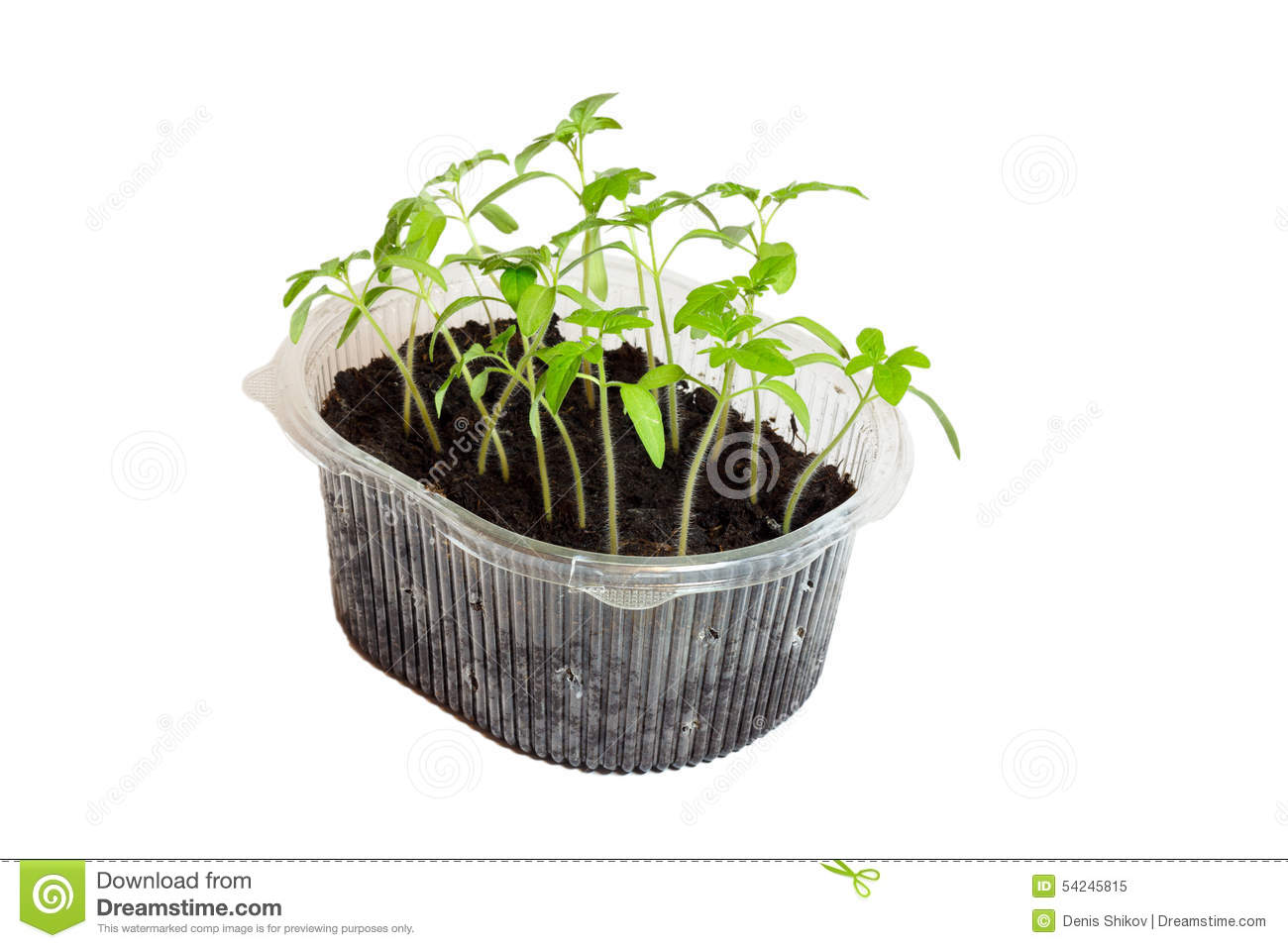 Seedlings of tomatoes in the box.