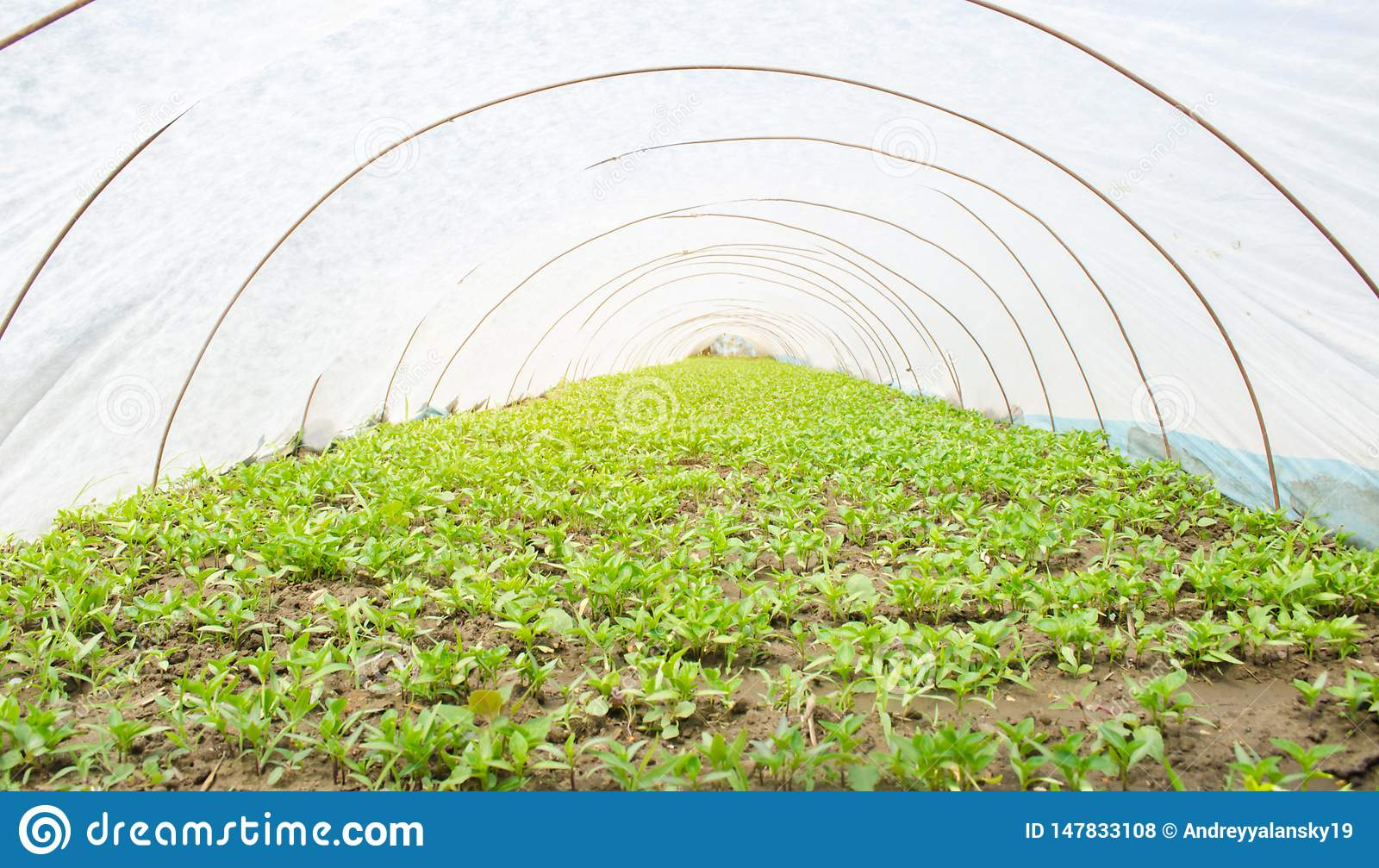 Seedlings of young peppers growing in a greenhouse under the plastic film. Growing organic vegetables. Agriculture. Farming.