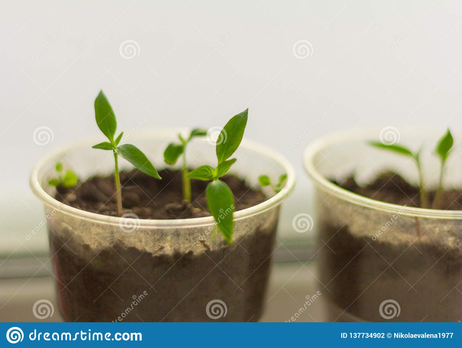 Seedlings,young shoots of pepper