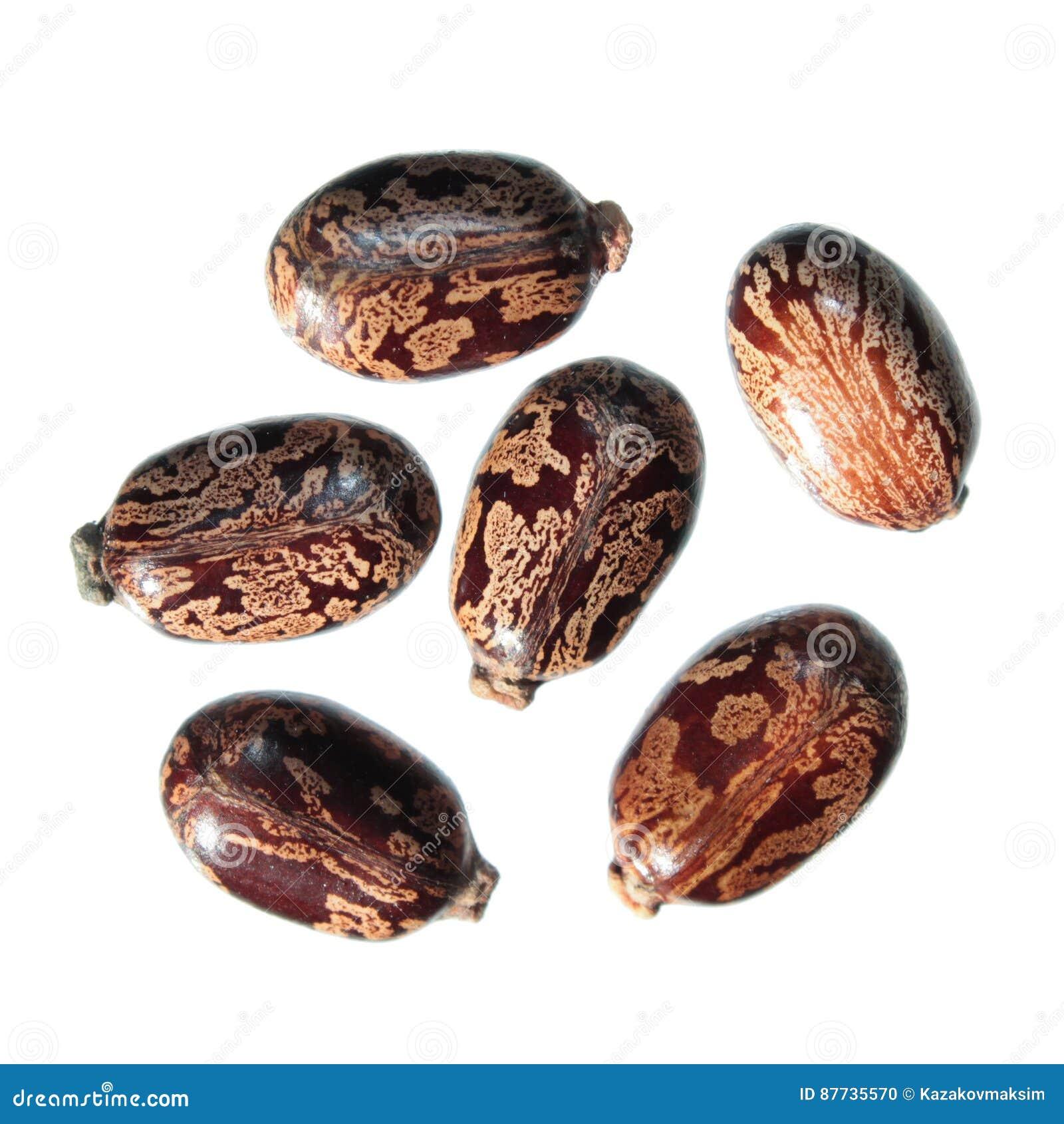 Seeds of Castor Bean Plant or Ricinus communis on white background