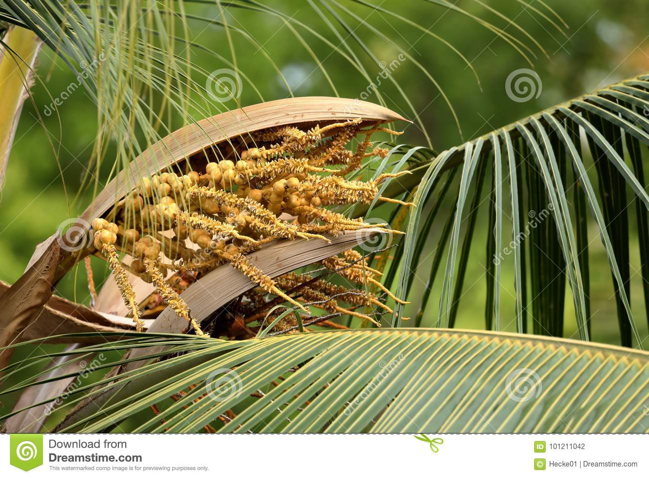 Seeds Of A Coconut Palm Tree Stock Photo - Image of seeds ...