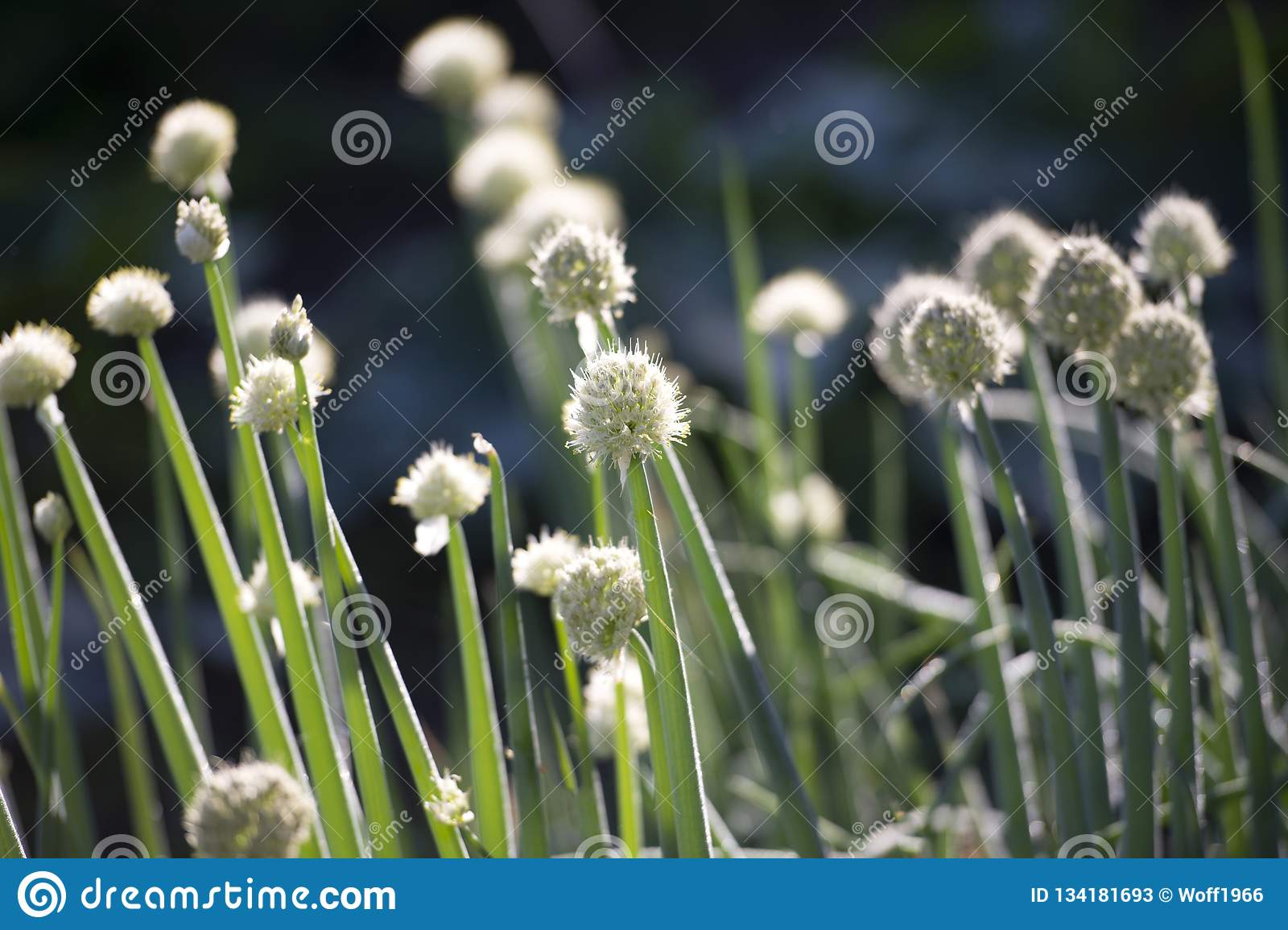 Seeds of green onions