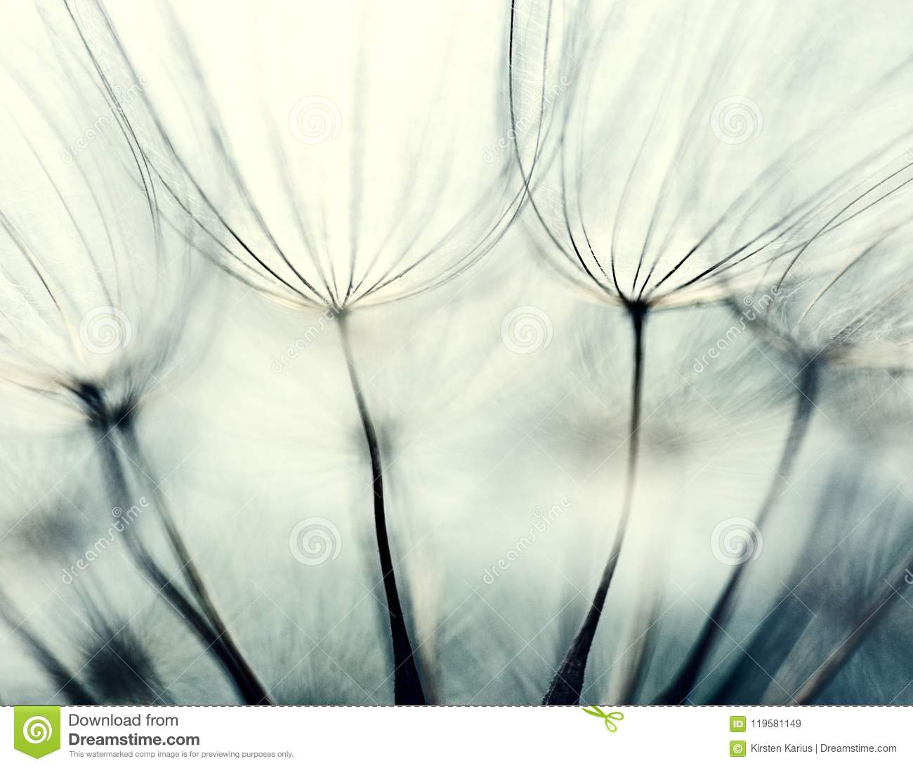 Seeds of Meadow Salsify