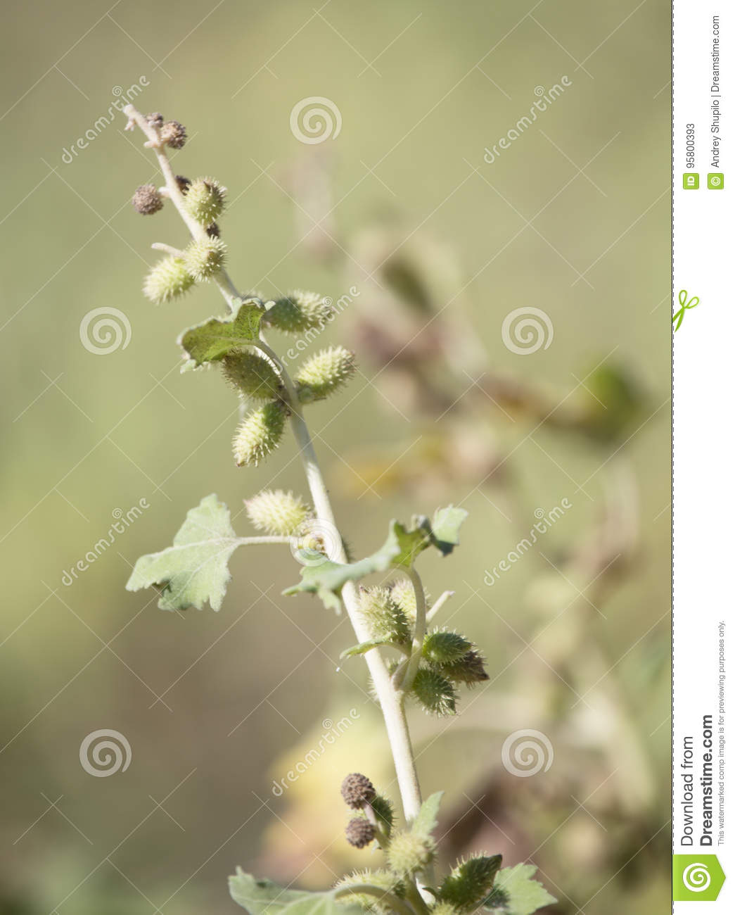 Seeds on the prickly plant