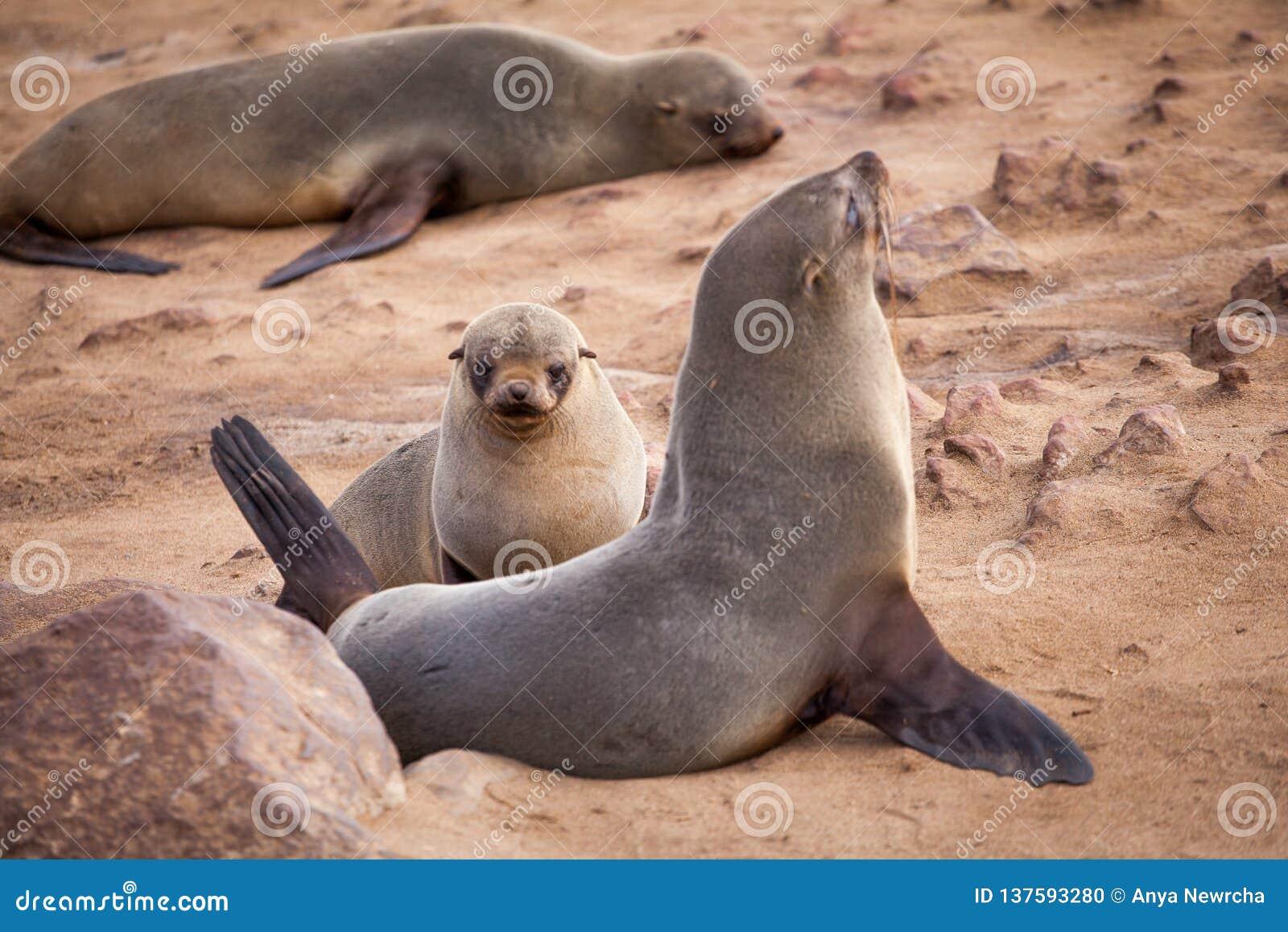 Seelöwe-Dichtungen, Otariinae mit Welpen