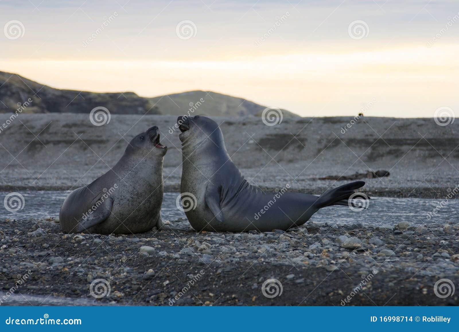 Seelefanten Schacht im Str.-Andrews, Südgeorgia
