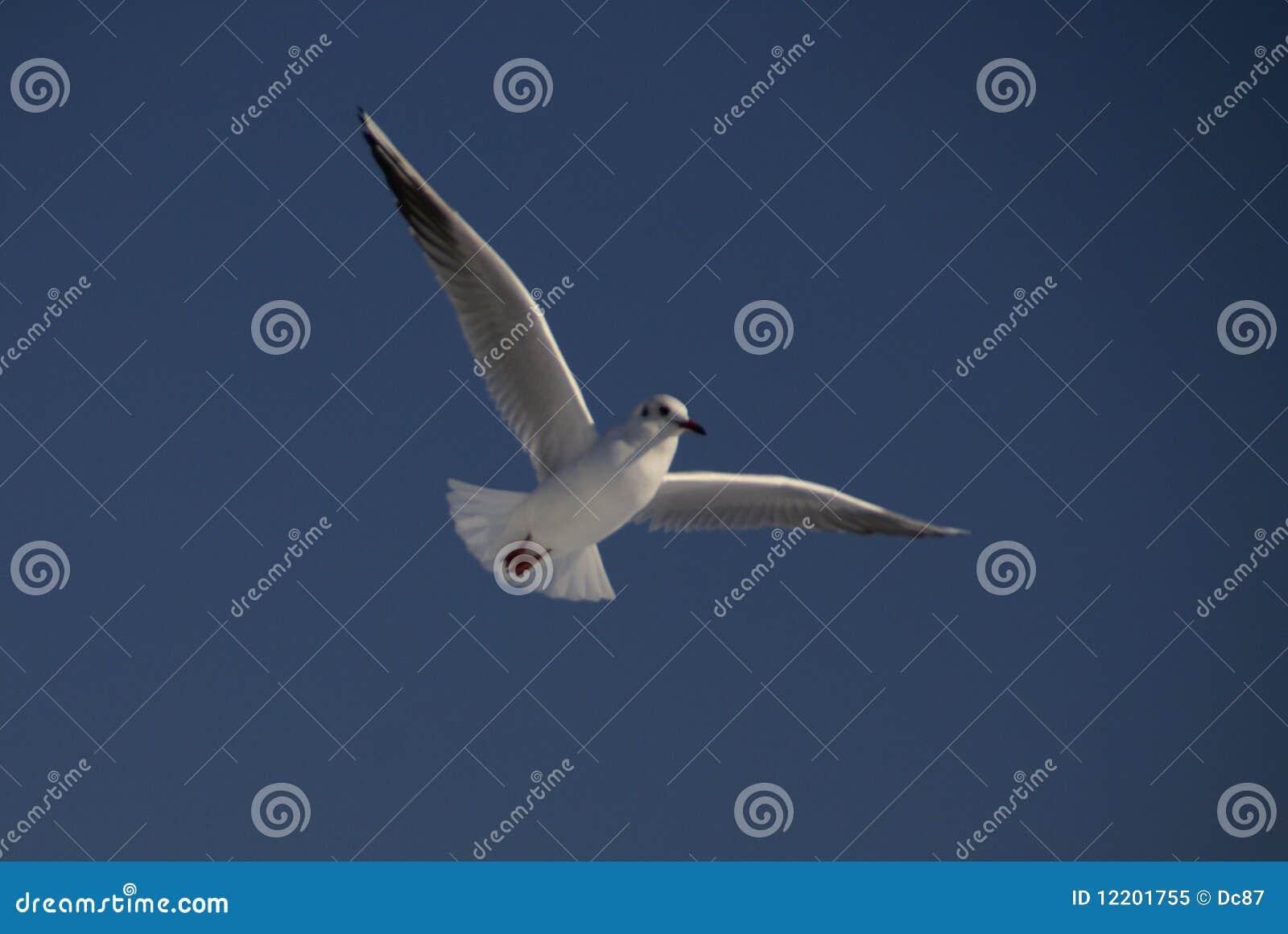 Seemöwe am Flug