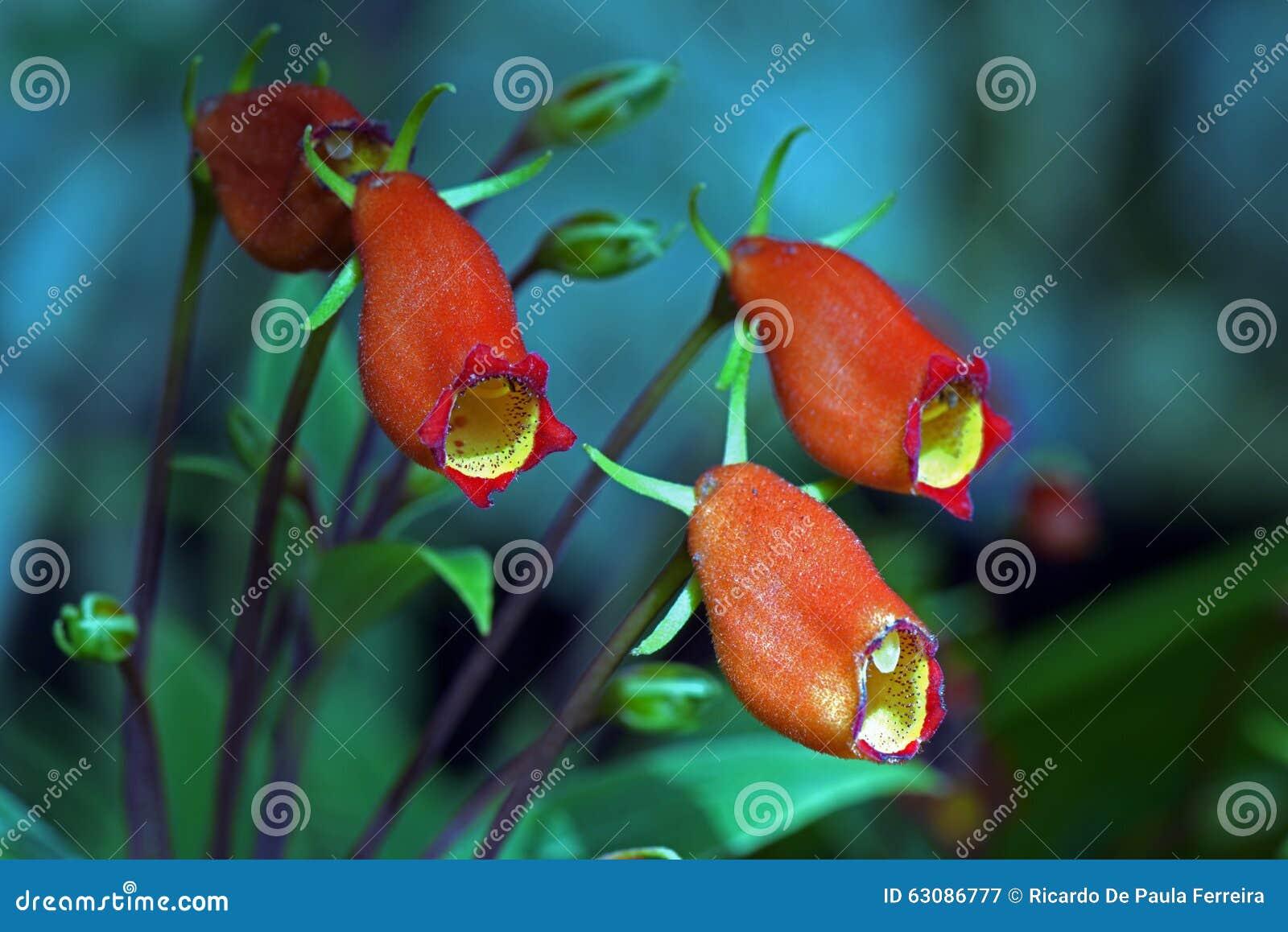 Download Seemannia, Une Fleur Brésilienne Image stock - Image du jardin, flore: 63086777
