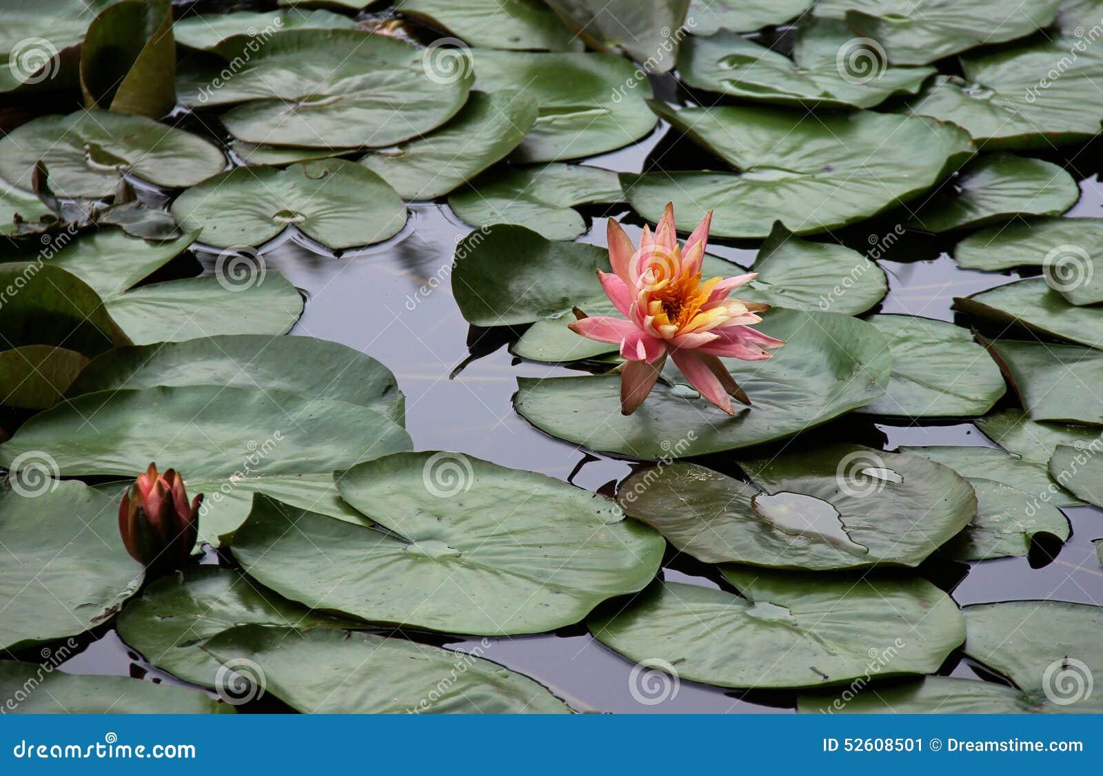 Seerosen auf einem Teich