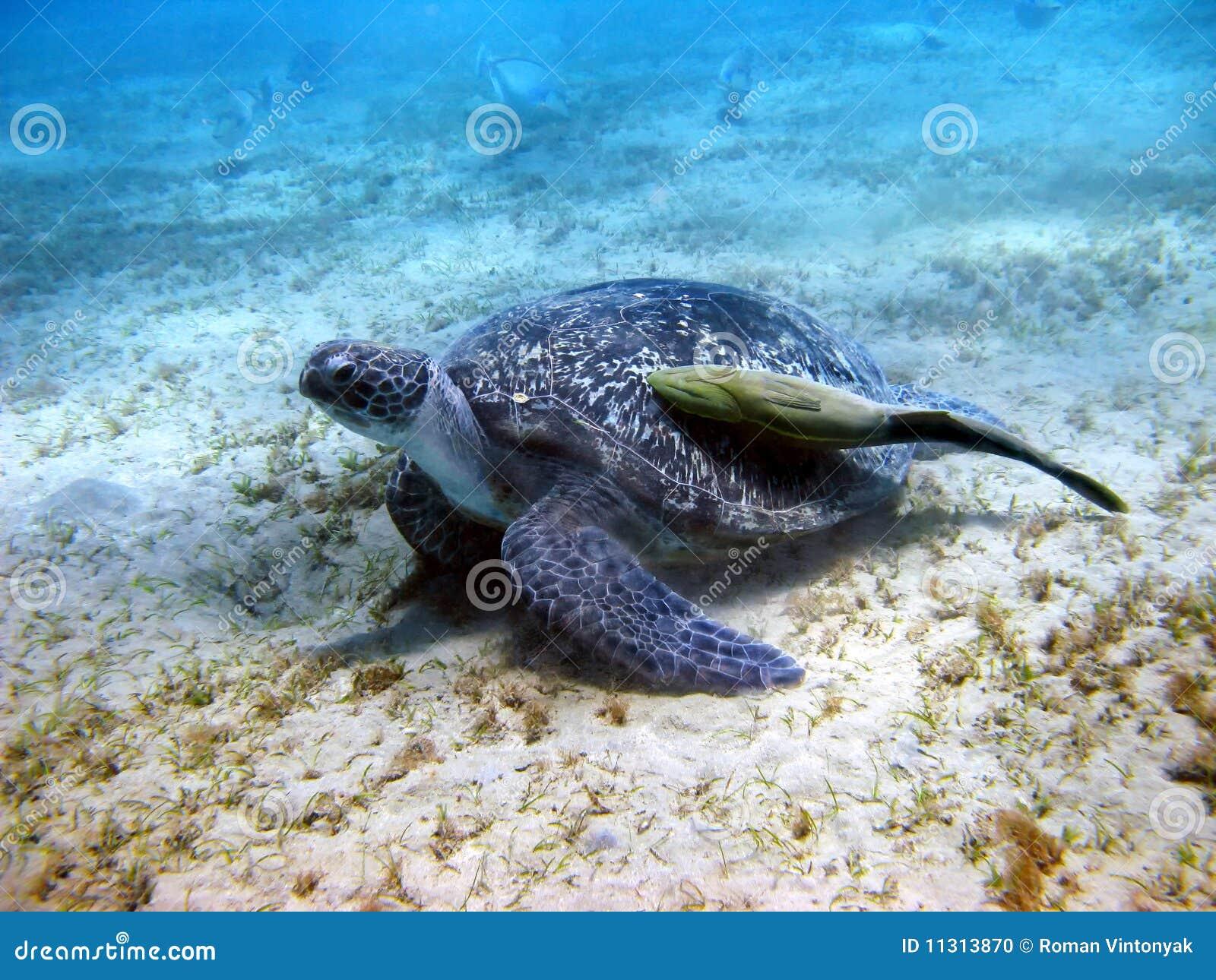 Seeschildkröte und Suckerfish