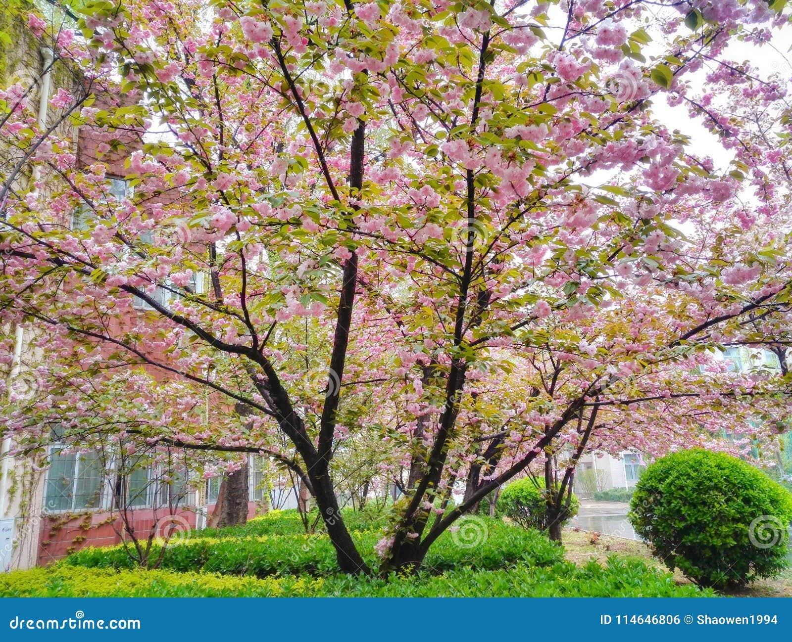 Seguidores cor-de-rosa de florescência da cereja
