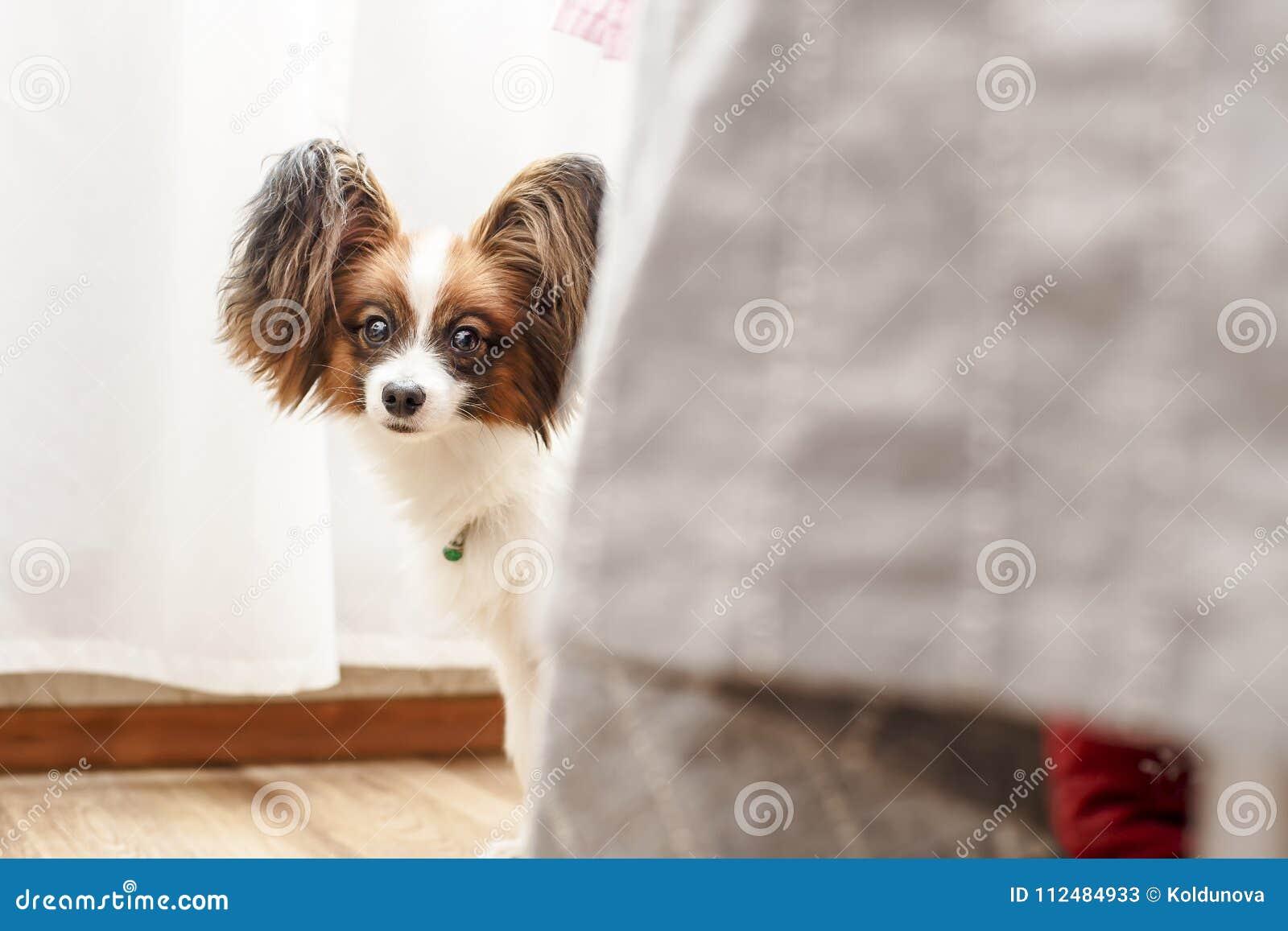 Sehr netter Hund mit großen schönen Papillon-Ohren besorgt lugend