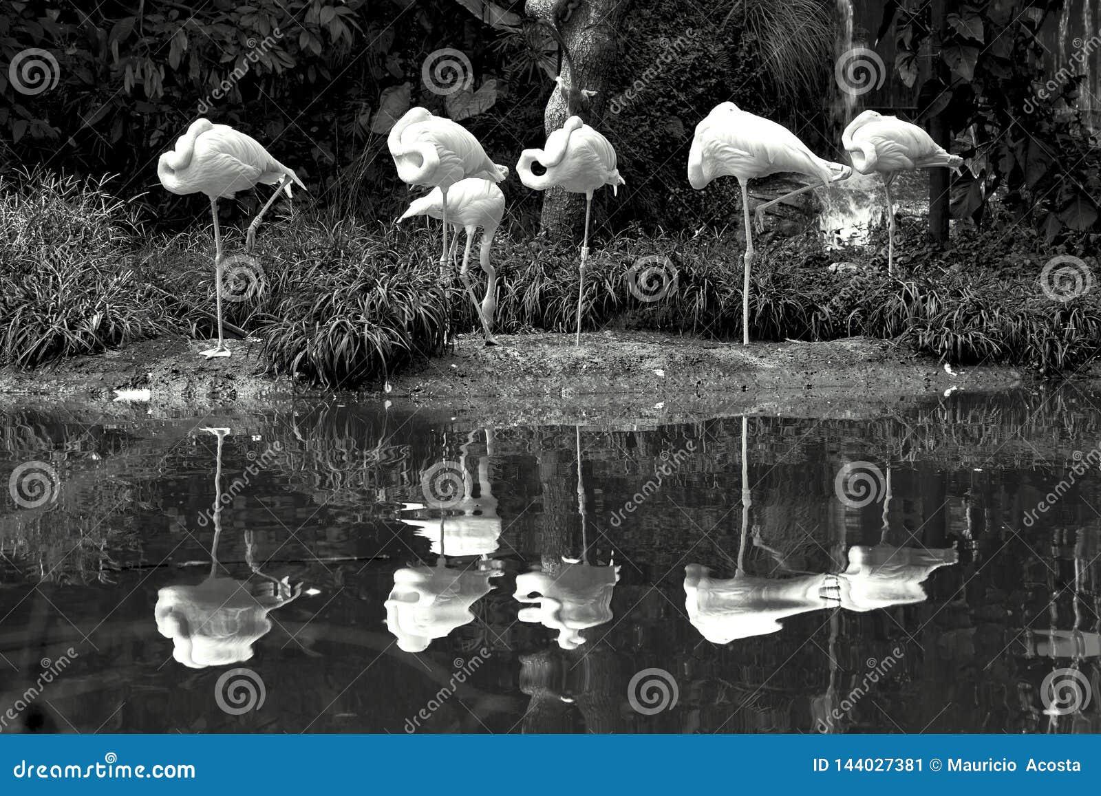 Seis flamingos americanos que estão perto de uma lagoa