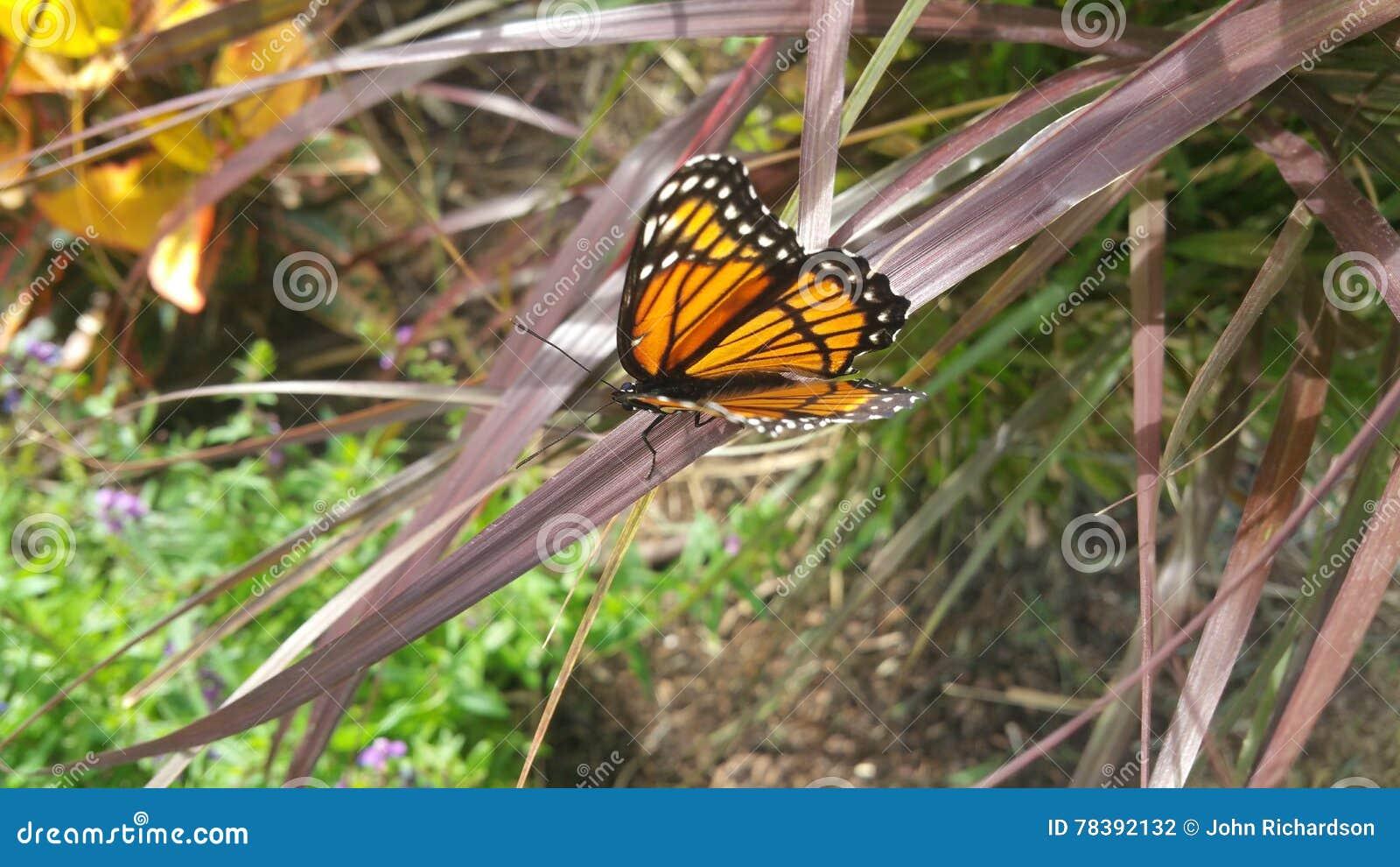 Seitenansicht des Monarchfalters