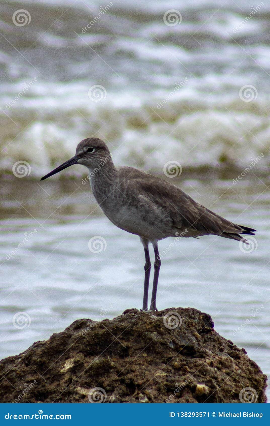 Seitenansicht des Seevogels stehend auf einem Felsen mit den Wellen, die den Hintergrund einlaufen