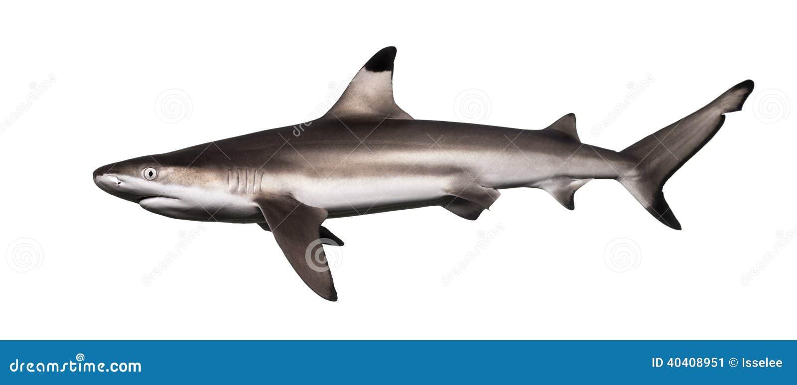 Seitenansicht eines Schwarzspitzen-Riffhais, Carcharhinus melanopterus