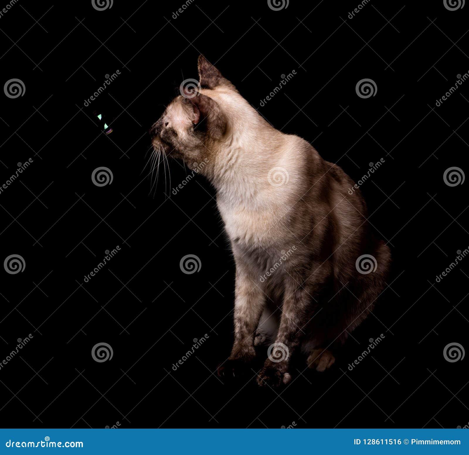 Seitenansicht eines tortie zeigen die siamesische Katze, die eine Blase betrachtet, die vor ihr schwimmt