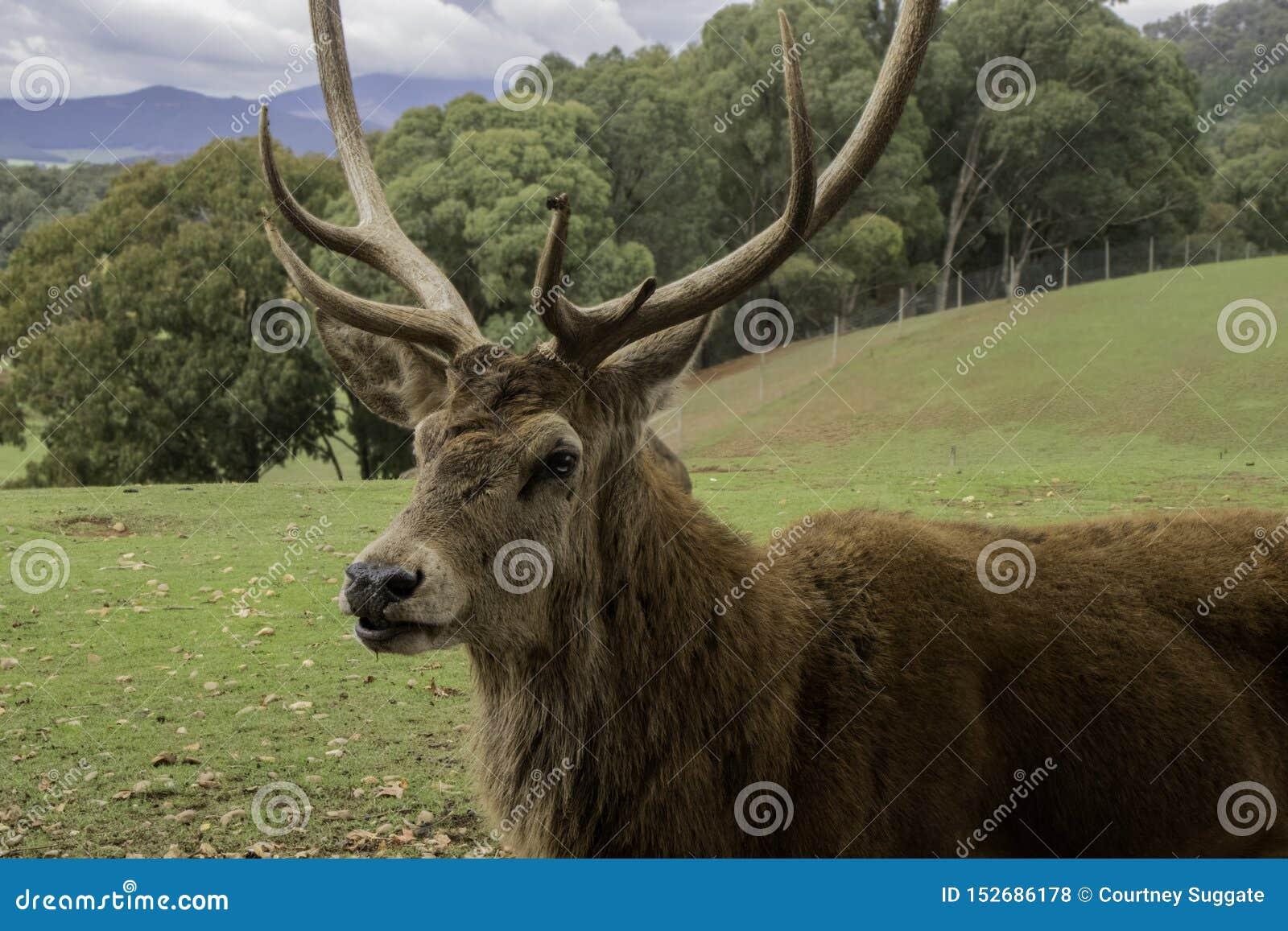 Seitenprofil des Hirsches mit großen Hörnern