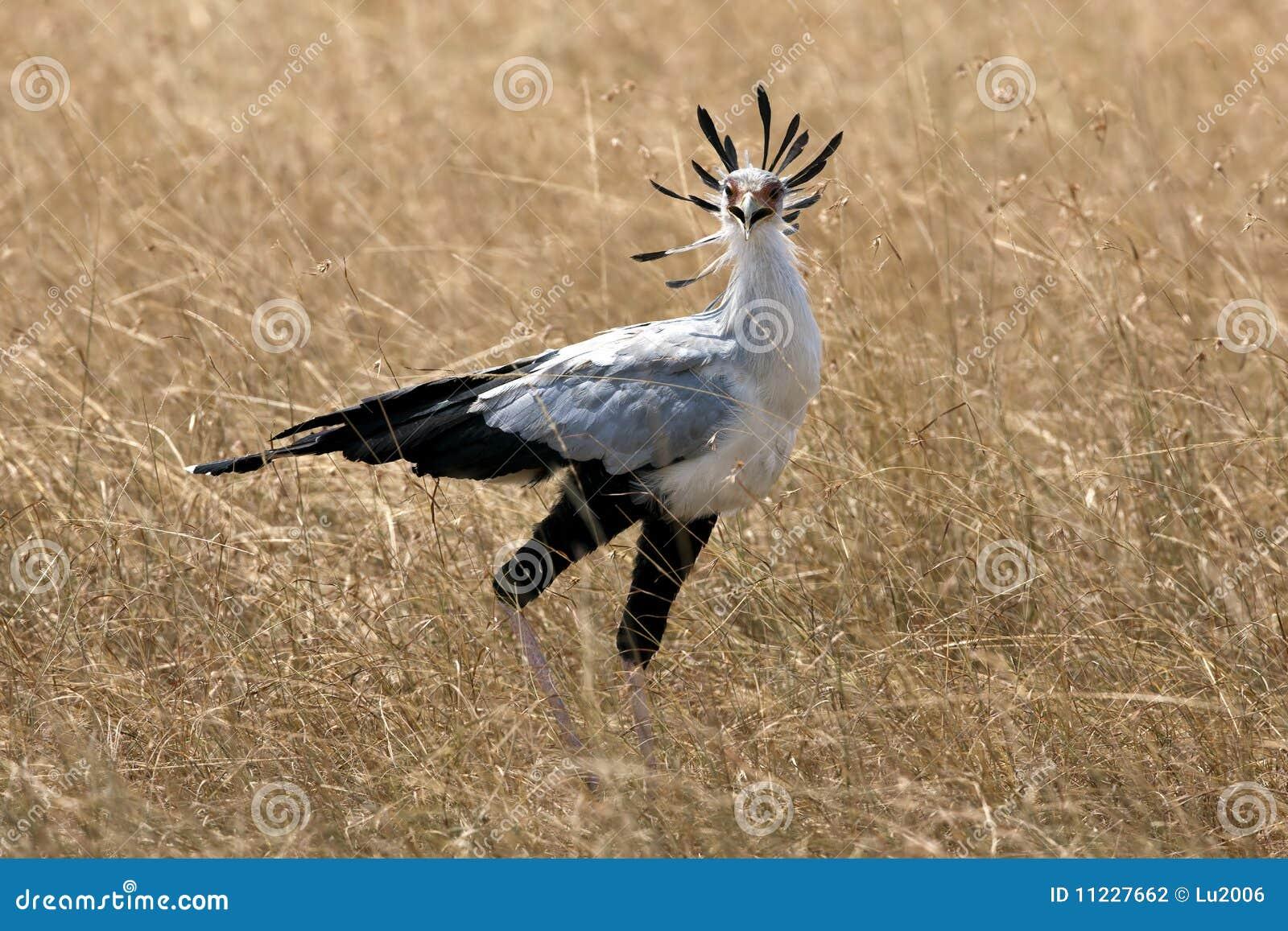 sekretär vogel tansania ~ sekretär vogel stockfotografie  bild 11227662