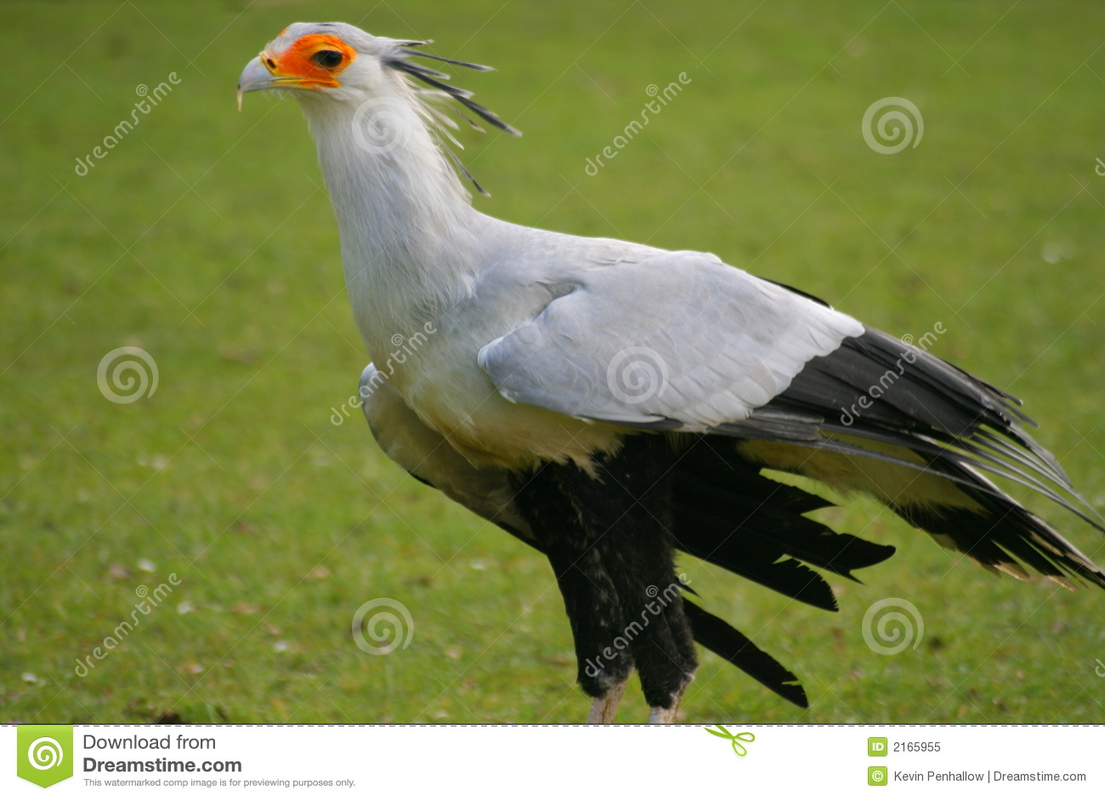 Sekretär Vogel Lizenzfreies Stockfoto  Bild 2165955