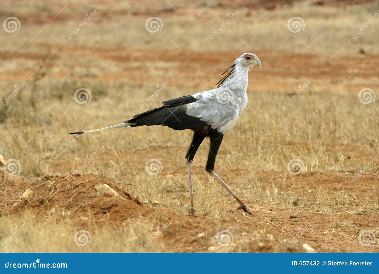 sekretär vogel tansania ~ sekretär vogel stockfotografie  bild 657432