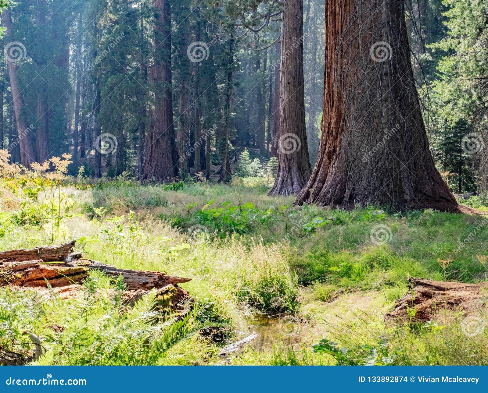 Sekwoj drzew obwódki łąka