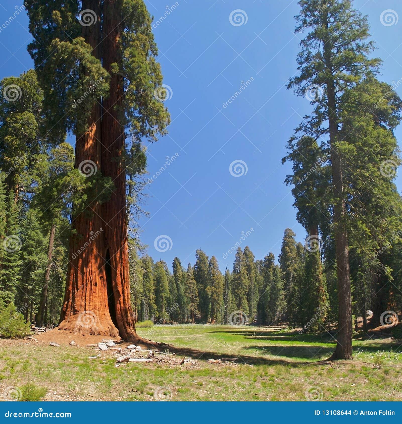 Sekwoj drzewa