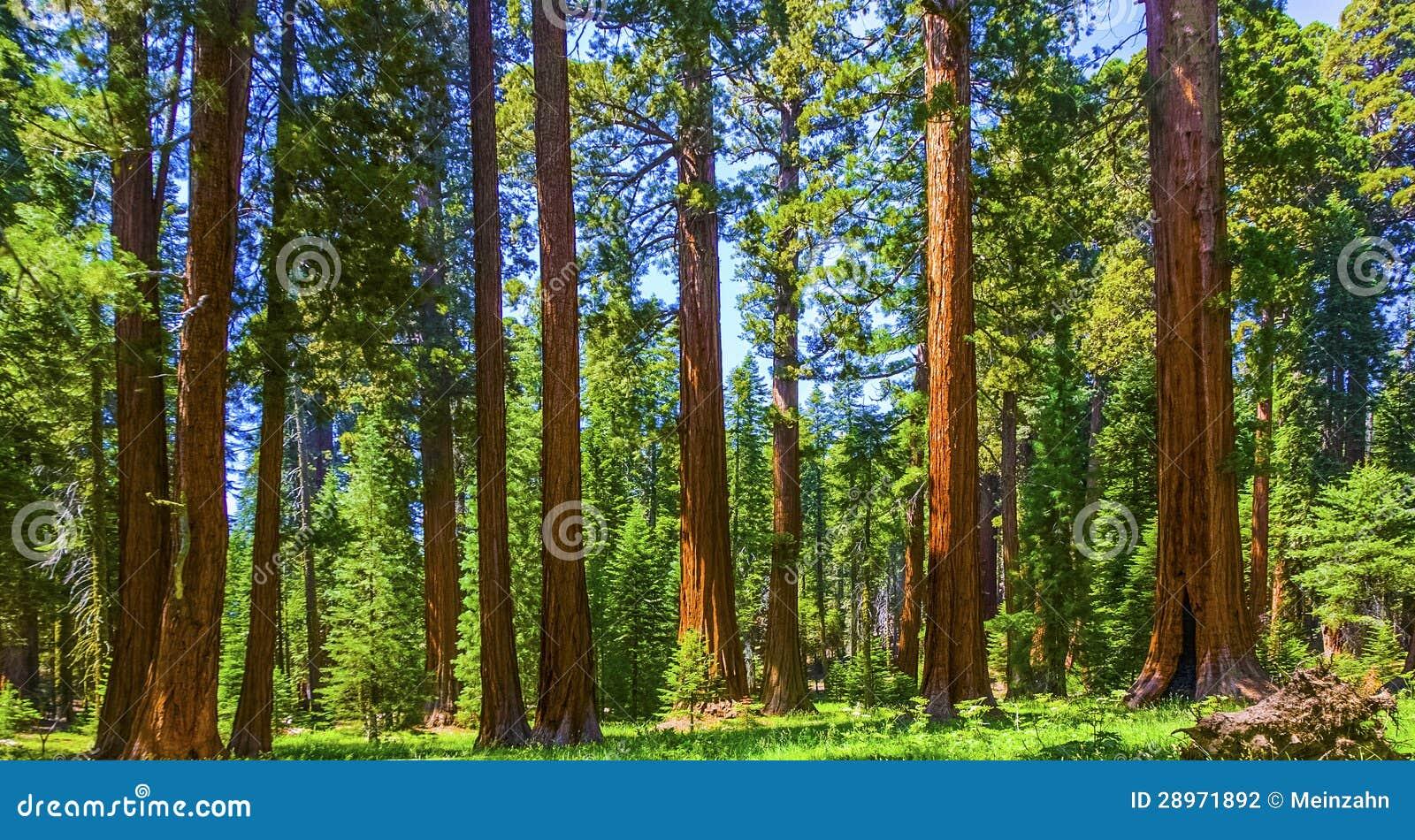 Sekwoj drzewa w sekwoi park narodowy blisko Gigantycznego wioska terenu