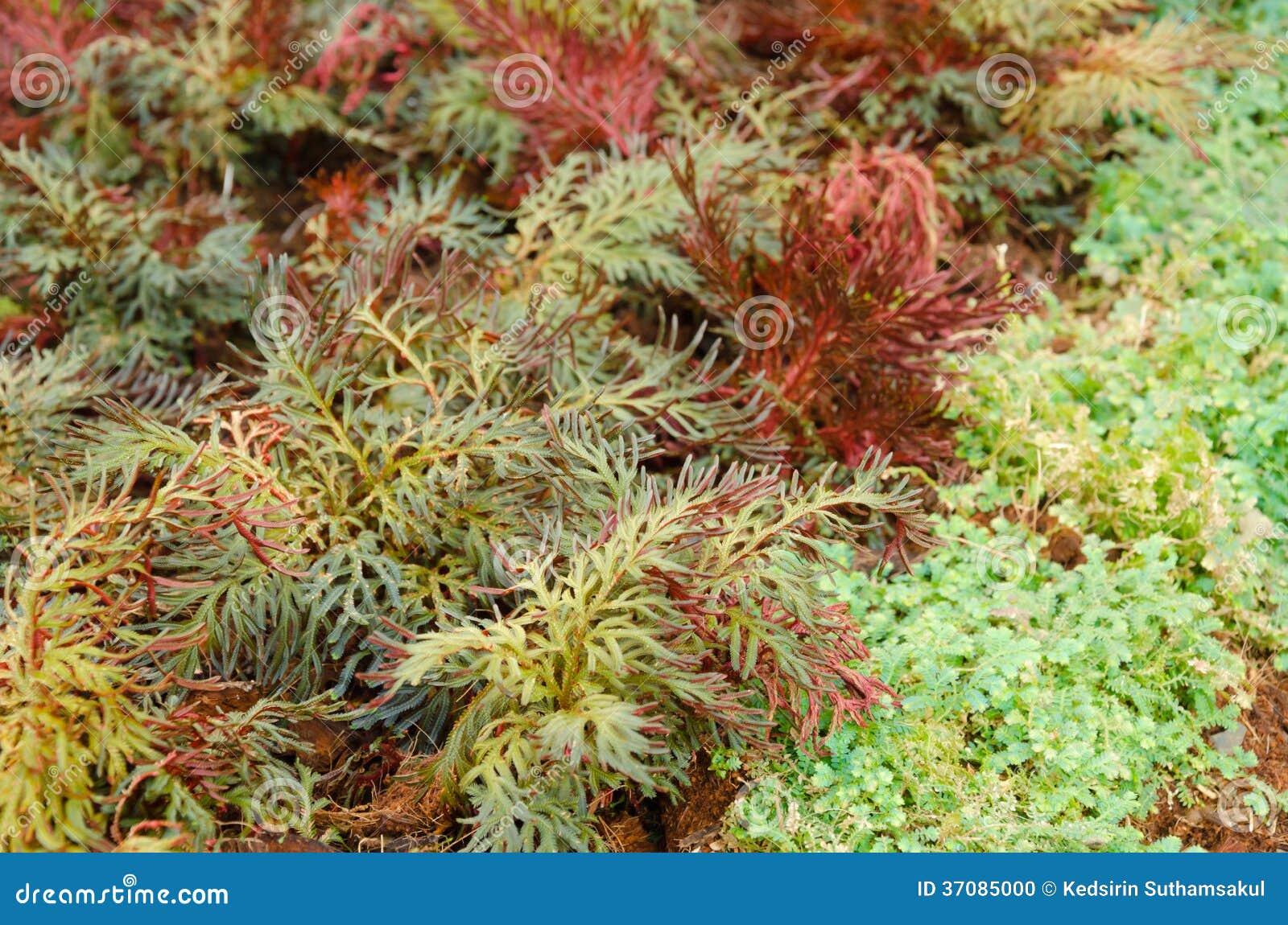 Download Selaginella Erythropus, Kolca Mech Rodzina W Paprociowych Jatach Zdjęcie Stock - Obraz złożonej z świeżość, zbliżenie: 37085000