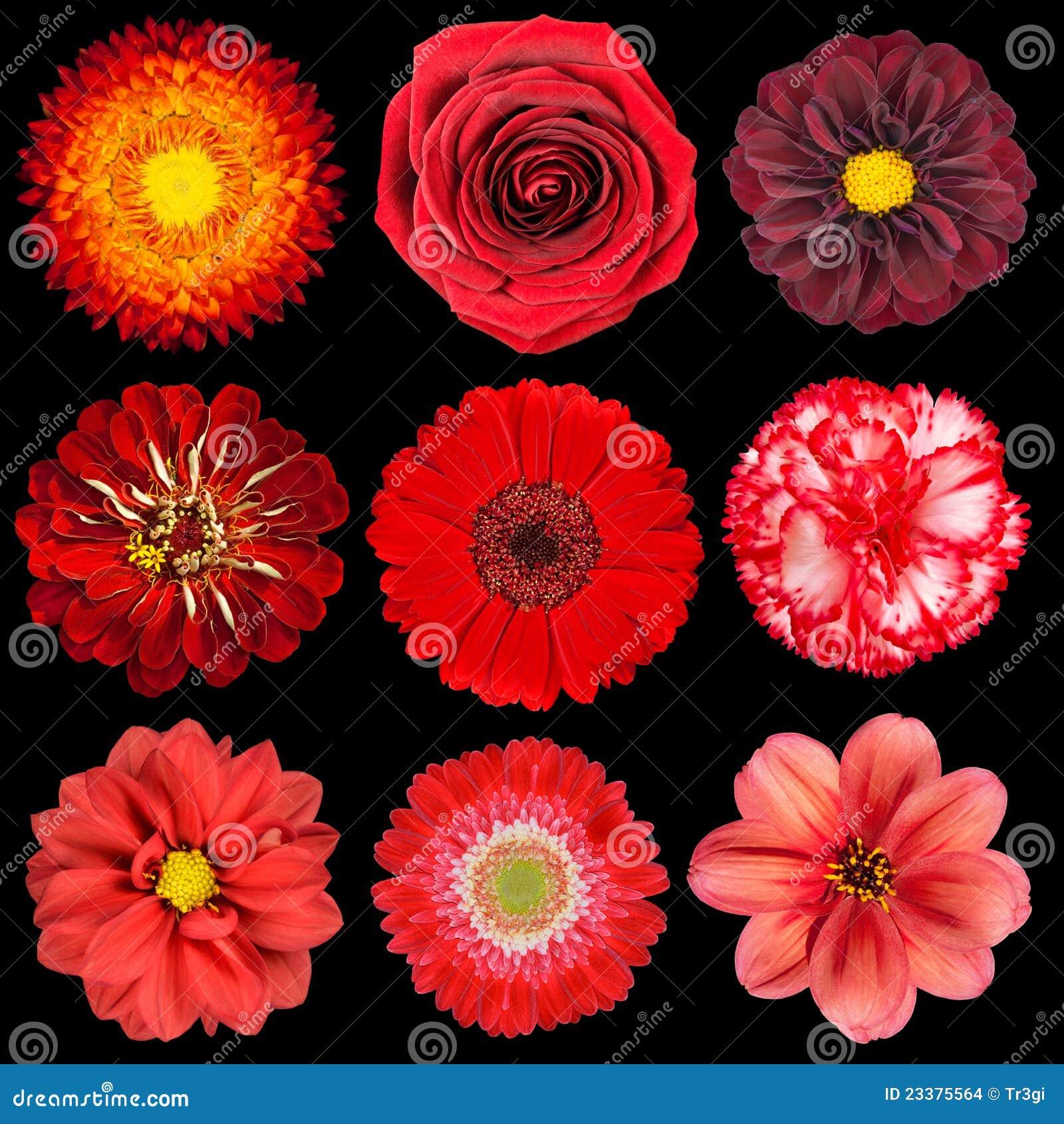 Seleção das várias flores vermelhas isoladas no preto