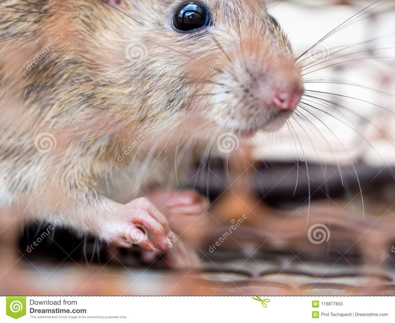 Select focus of the nail of the rat in the nick. Homes and dwellings should not have mice. Pest control.Animal contagious diseases