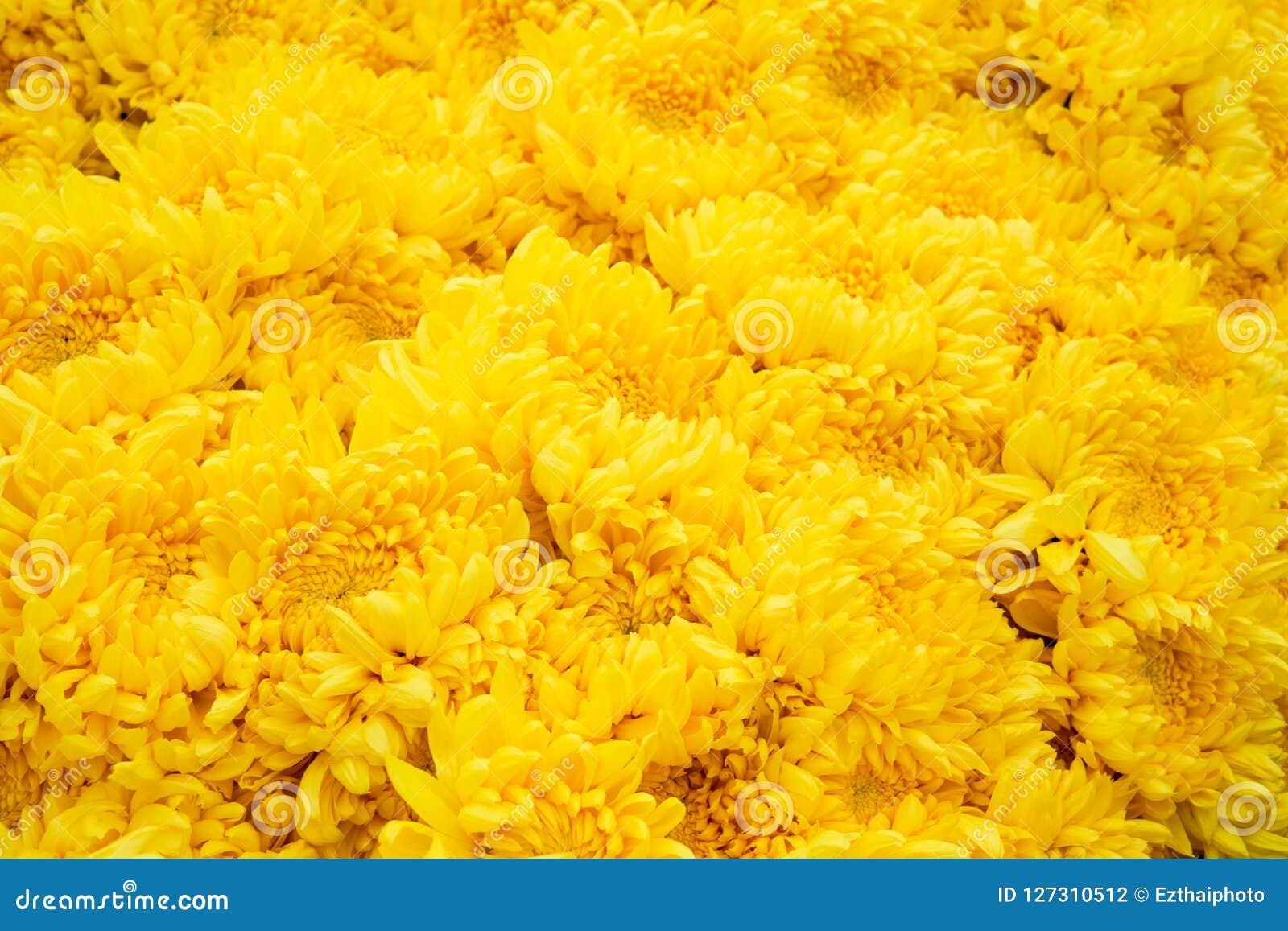 Selective focus beautiful chrysanthemums flowers texture backgr