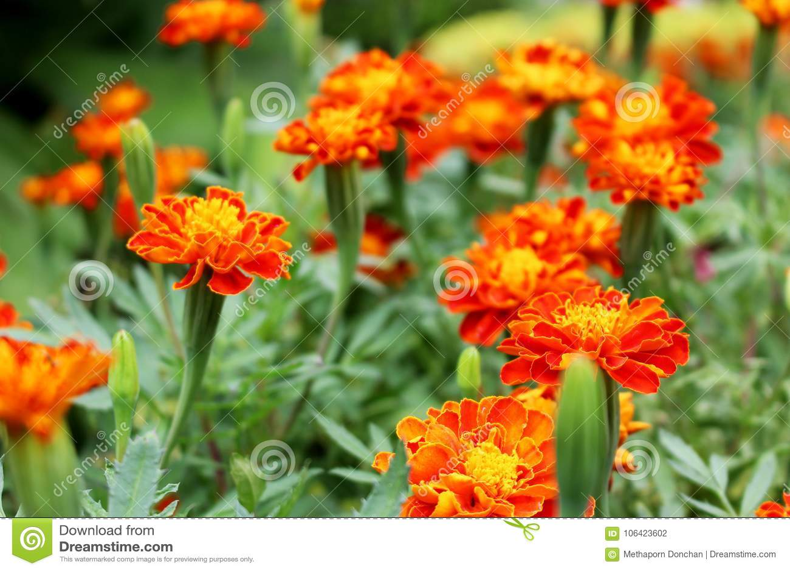 Selective focus beautiful orange and yellow colors of marigold download selective focus beautiful orange and yellow colors of marigold flowers on flowers background stock photo mightylinksfo