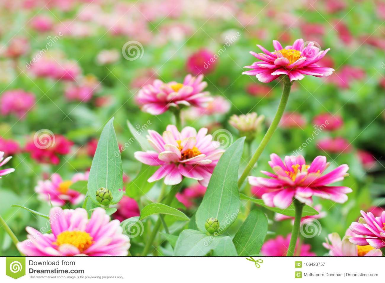 Selective Focus Beautiful Small Pink And White Colors Of Zinnia