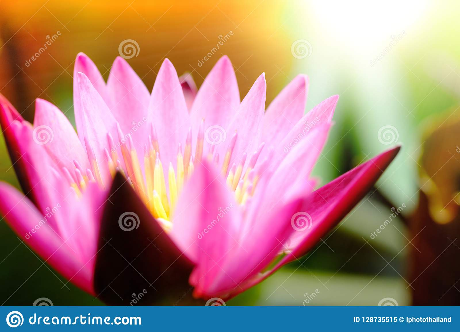 Selective Focus On Blooming Pink Lotus Flower Natural Background
